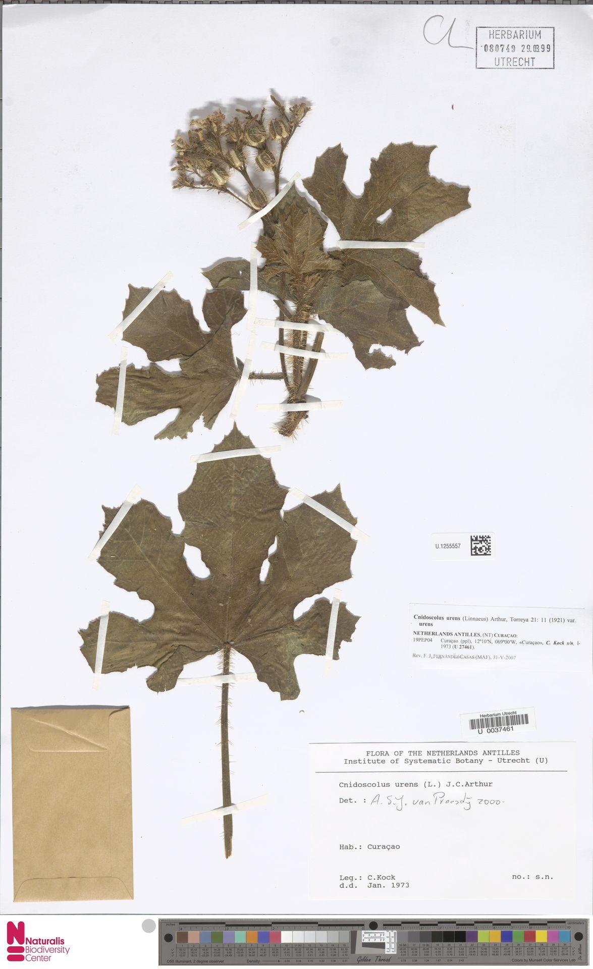 U.1255557 | Cnidoscolus urens var. urens