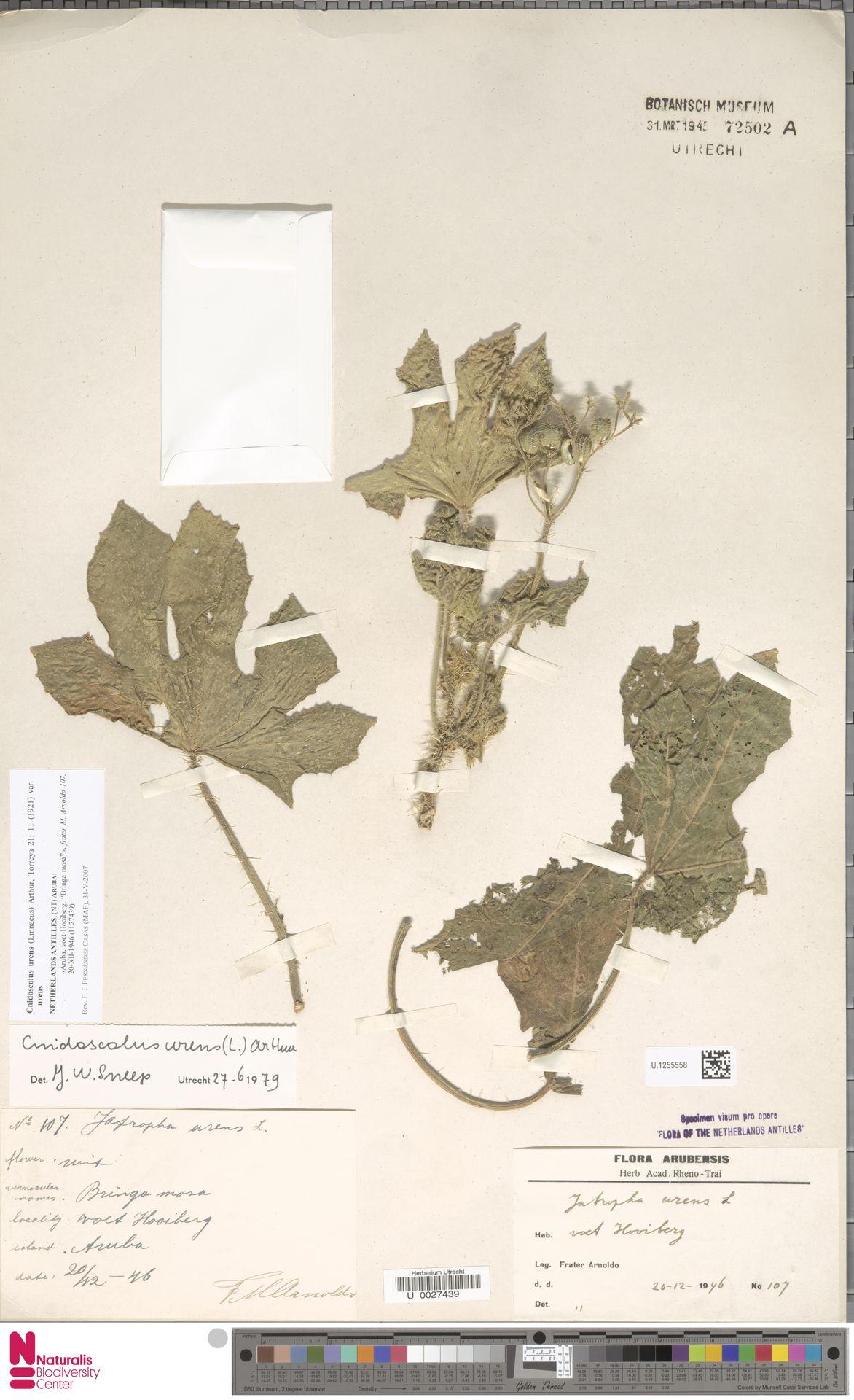 U.1255558 | Cnidoscolus urens var. urens