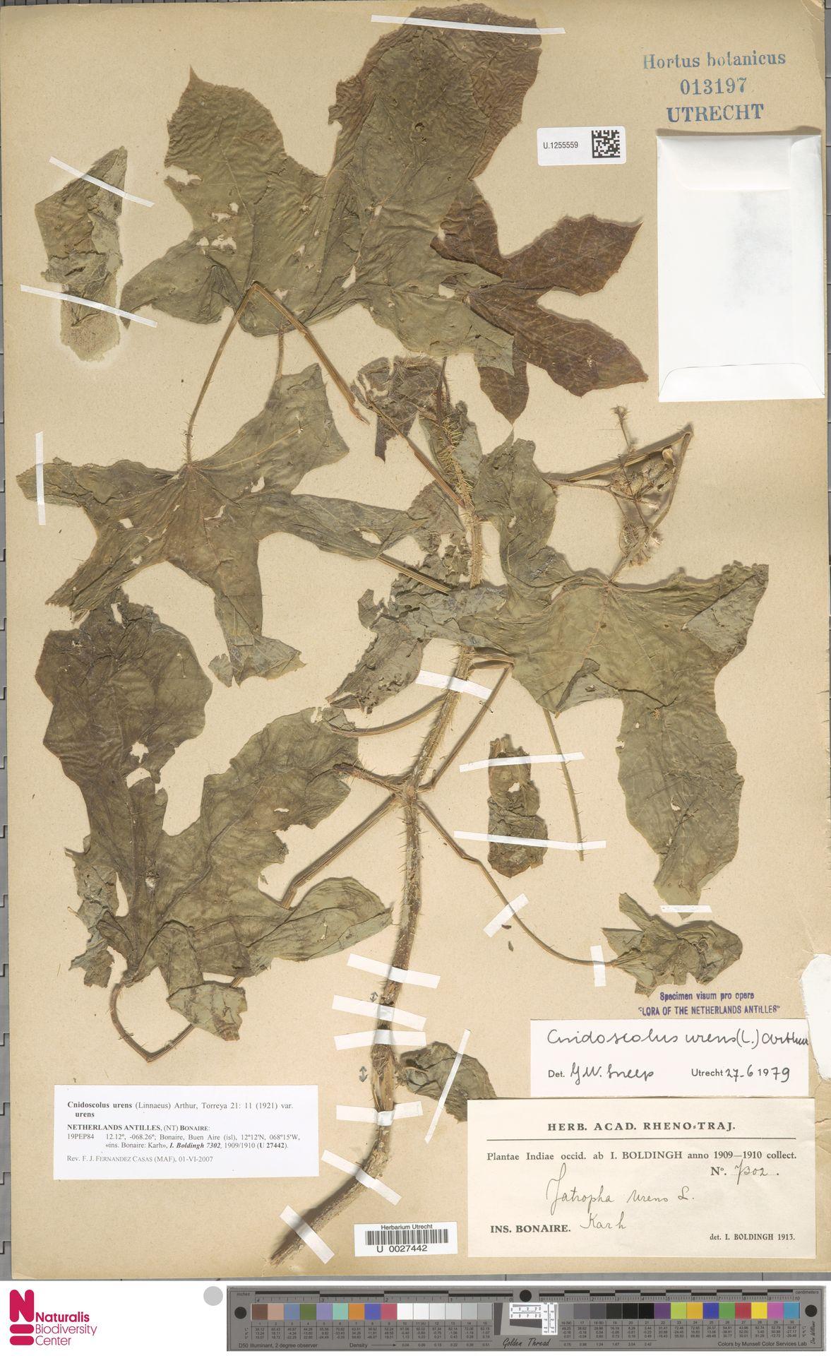 U.1255559 | Cnidoscolus urens var. urens