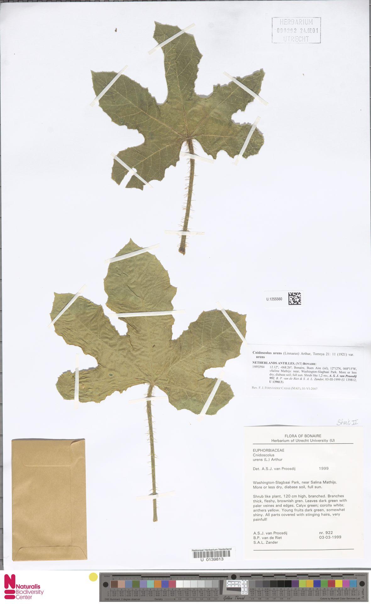 U.1255560 | Cnidoscolus urens var. urens