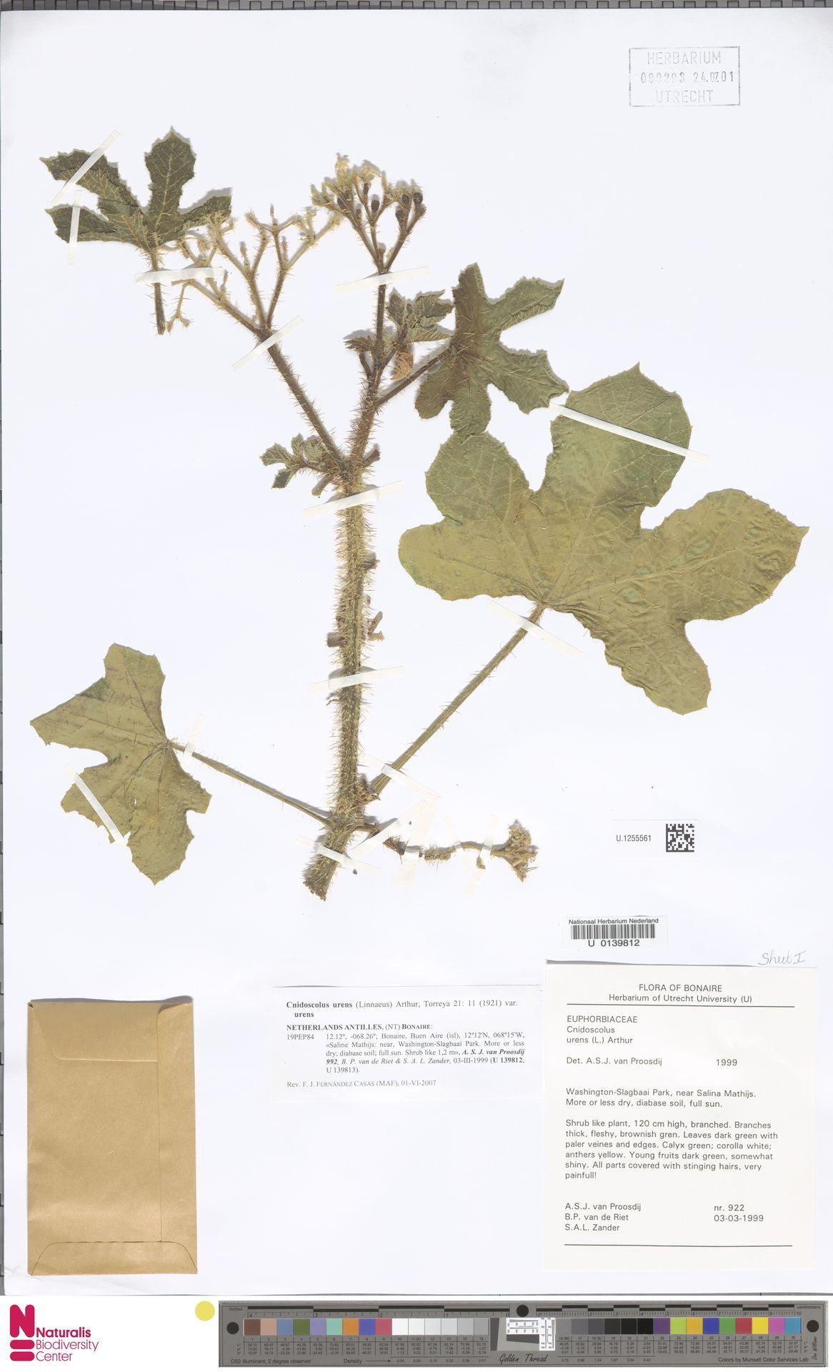 U.1255561 | Cnidoscolus urens var. urens