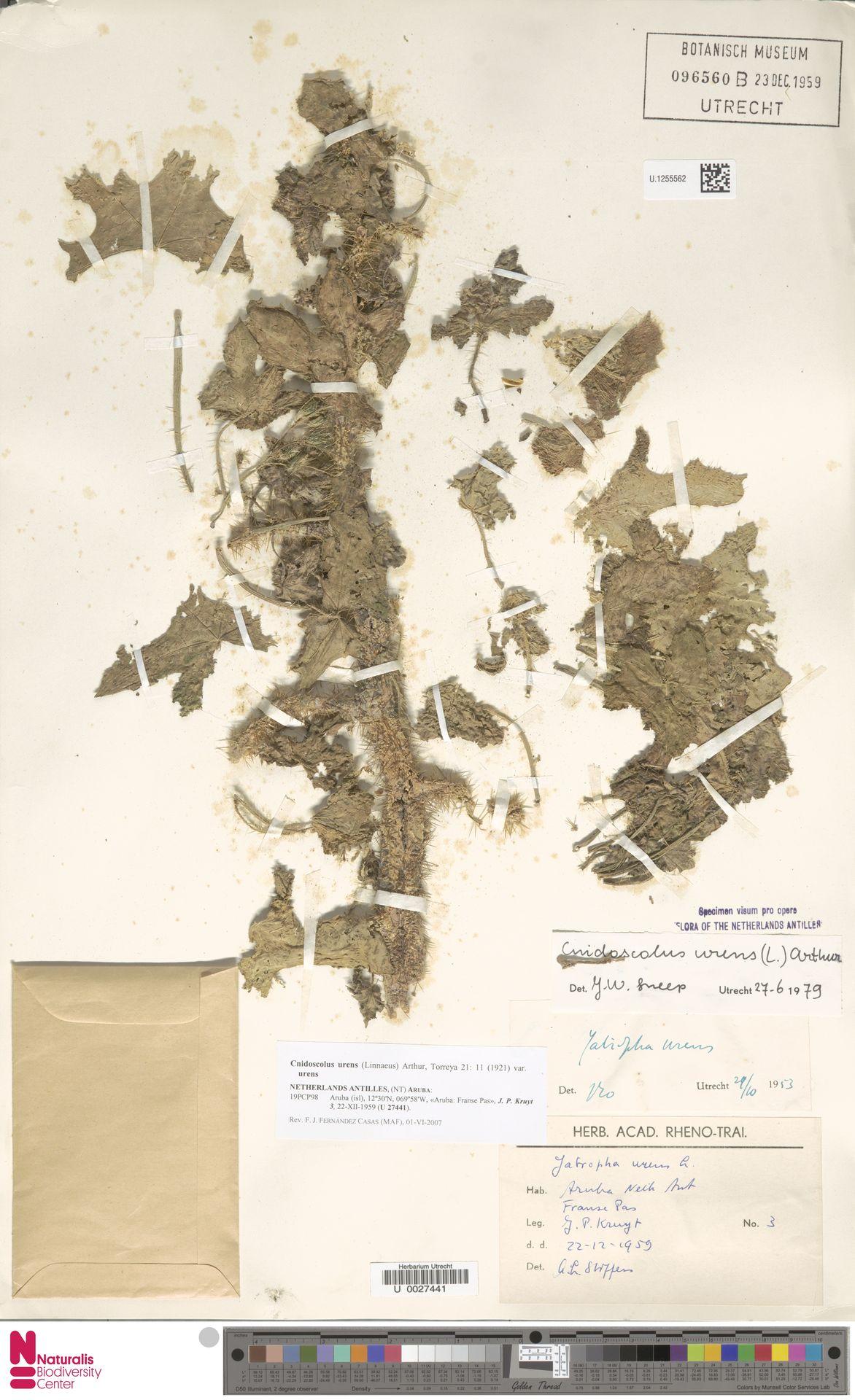 U.1255562 | Cnidoscolus urens var. urens