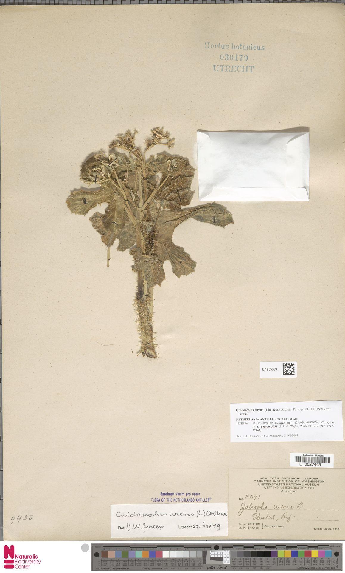 U.1255563 | Cnidoscolus urens var. urens
