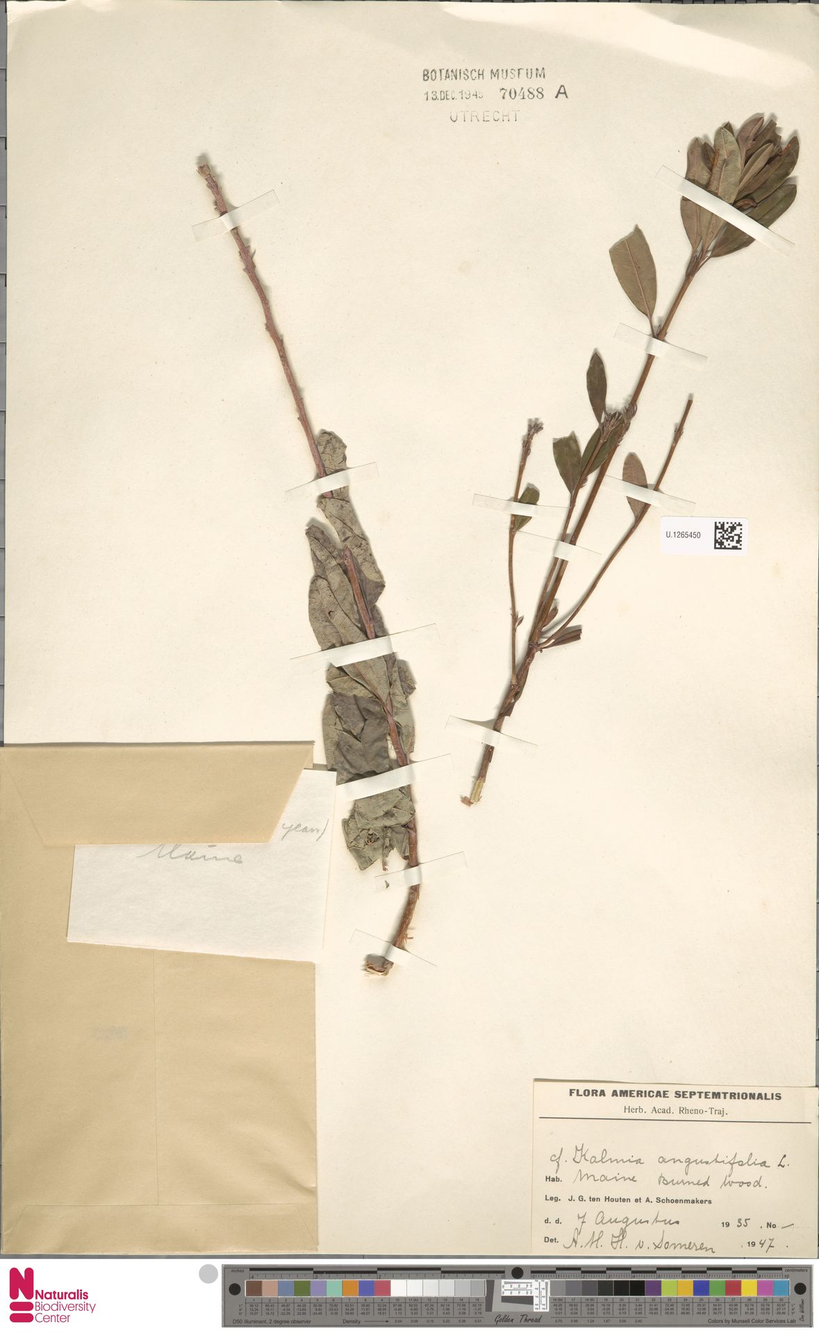 U.1265450 | Kalmia angustifolia L.
