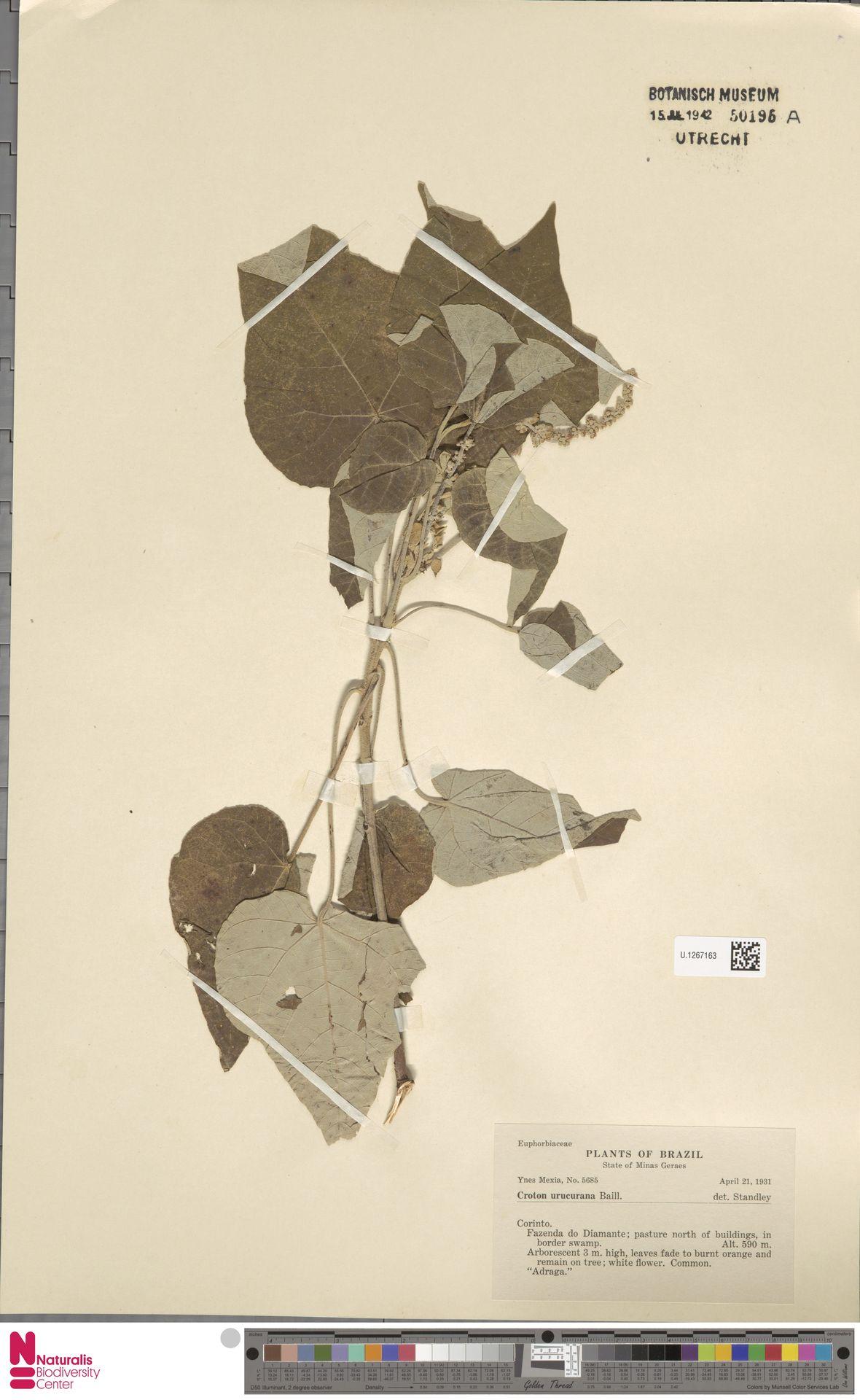U.1267163   Croton urucurana Baill.