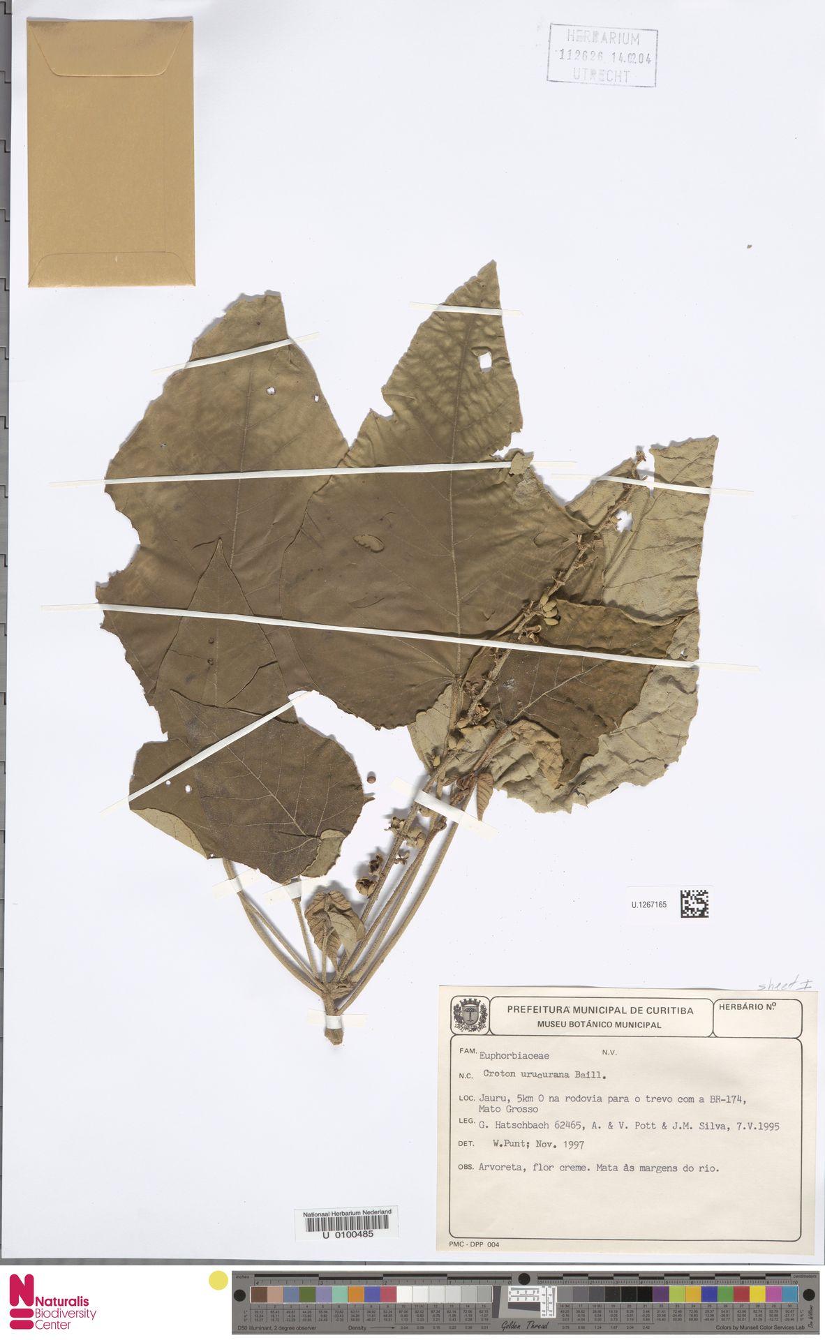 U.1267165 | Croton urucurana Baill.