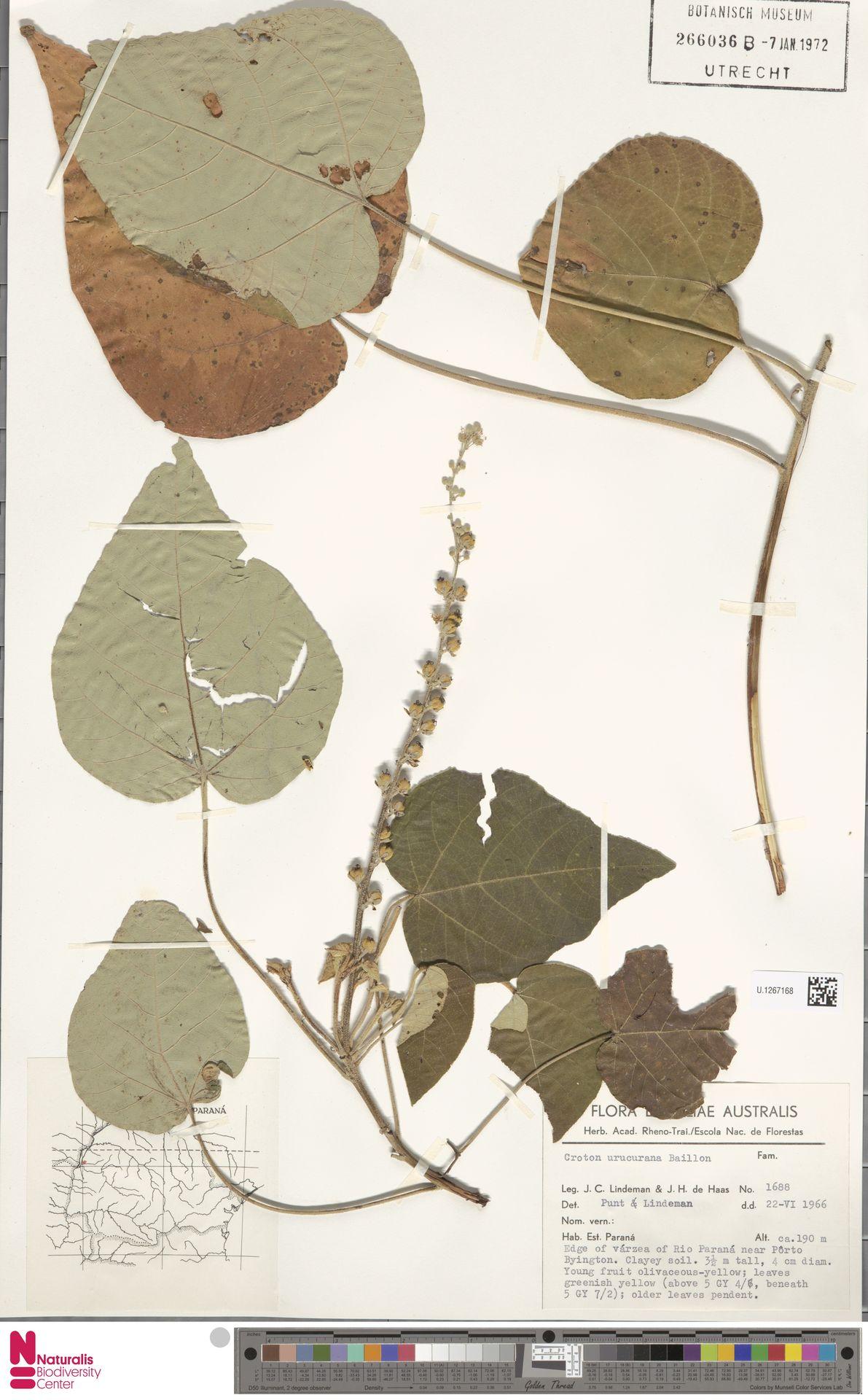 U.1267168 | Croton urucurana Baill.