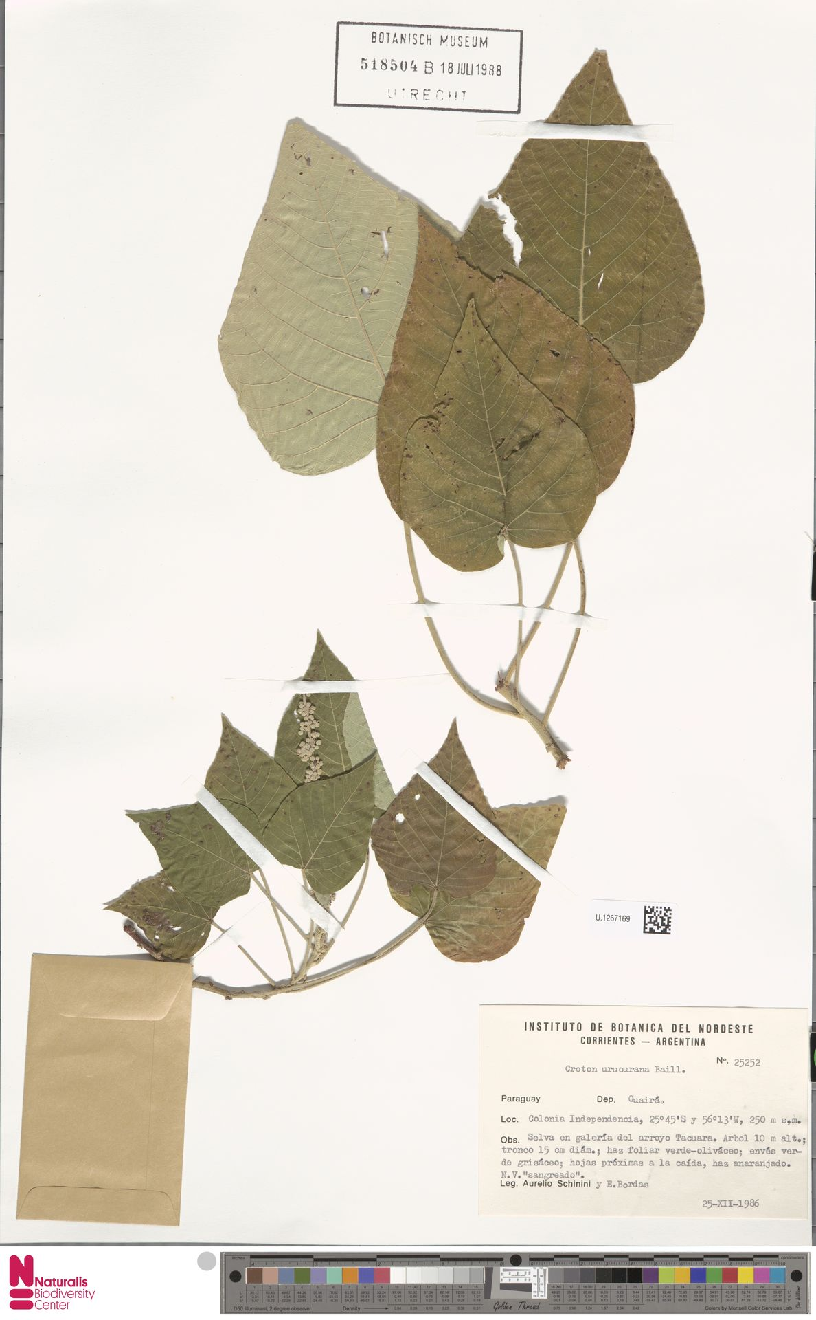 U.1267169 | Croton urucurana Baill.