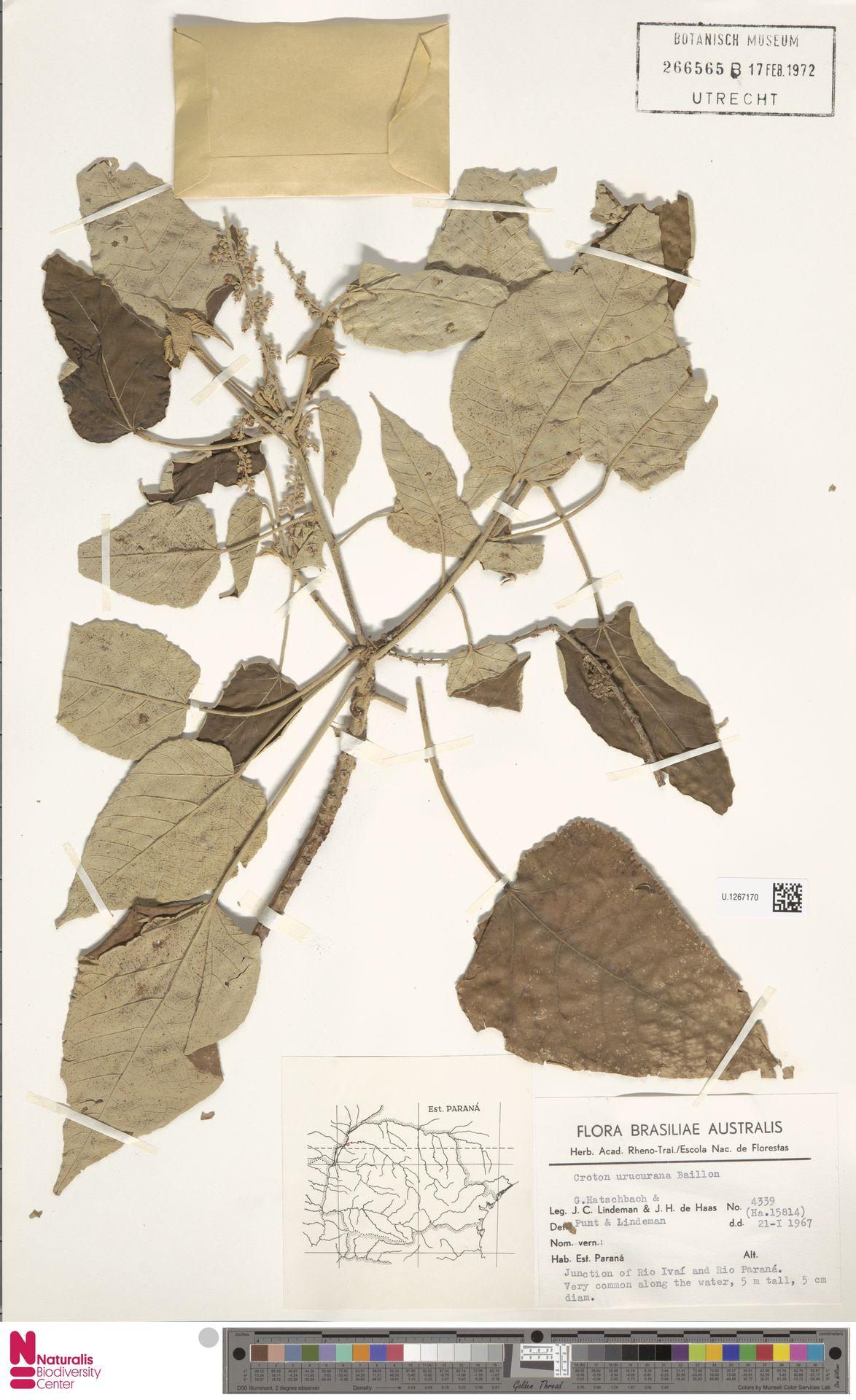 U.1267170 | Croton urucurana Baill.