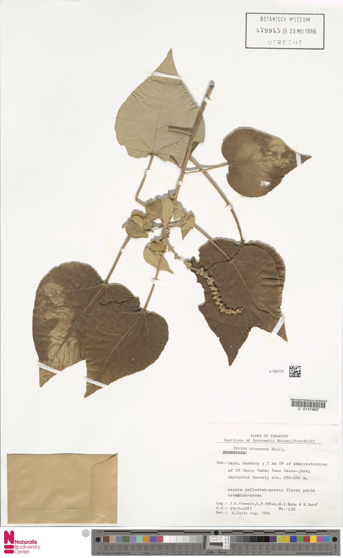 U.1267172 | Croton urucurana Baill.