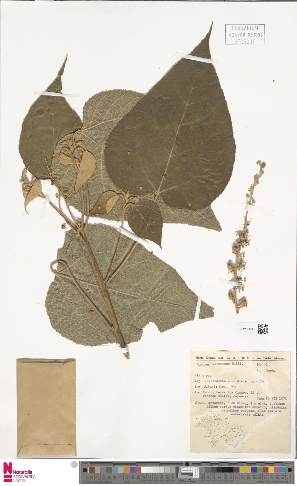 U.1267173 | Croton urucurana Baill.