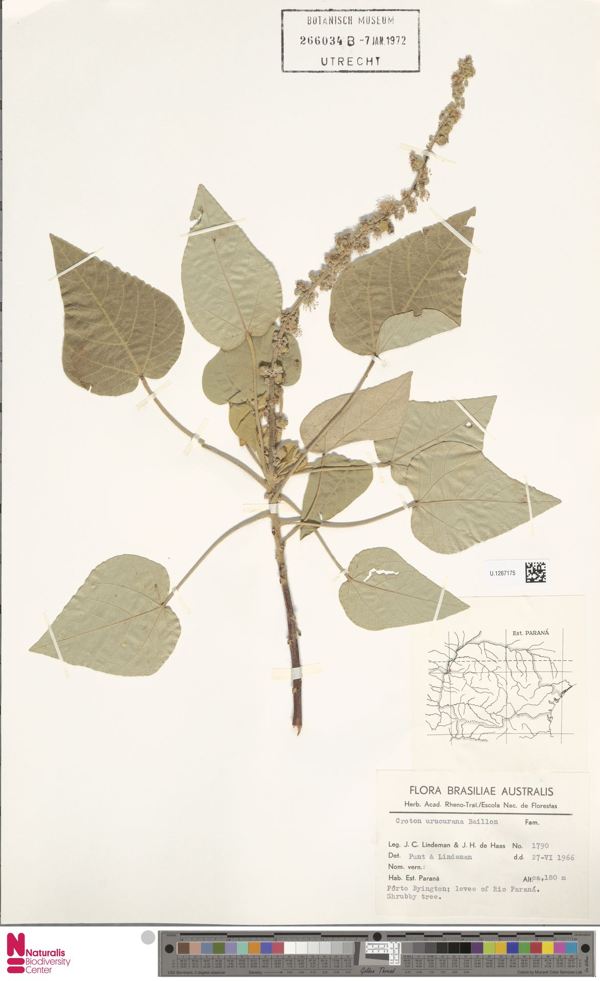 U.1267175 | Croton urucurana Baill.