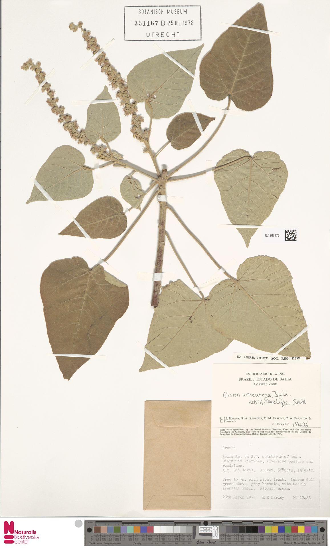 U.1267176 | Croton urucurana Baill.