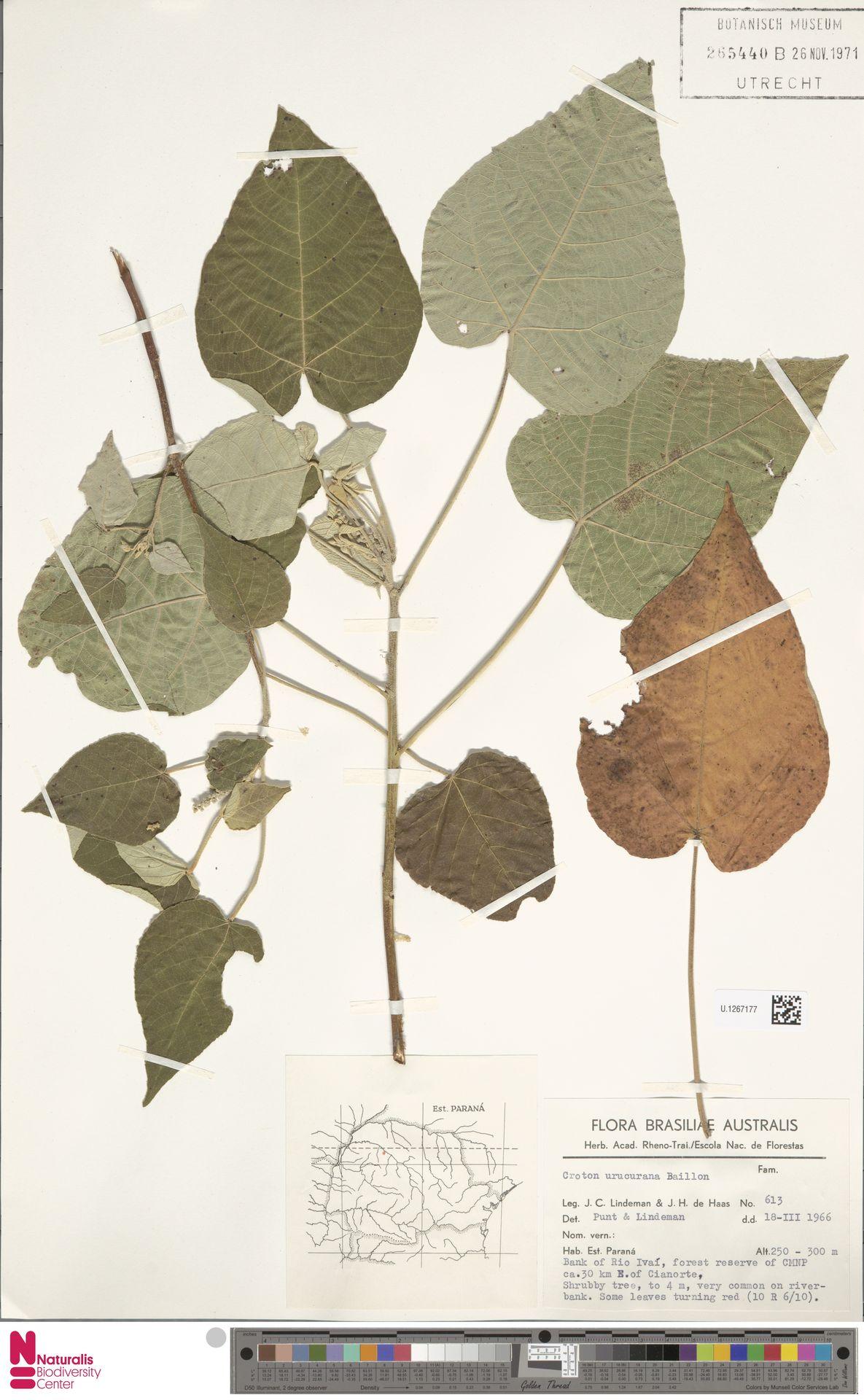 U.1267177 | Croton urucurana Baill.