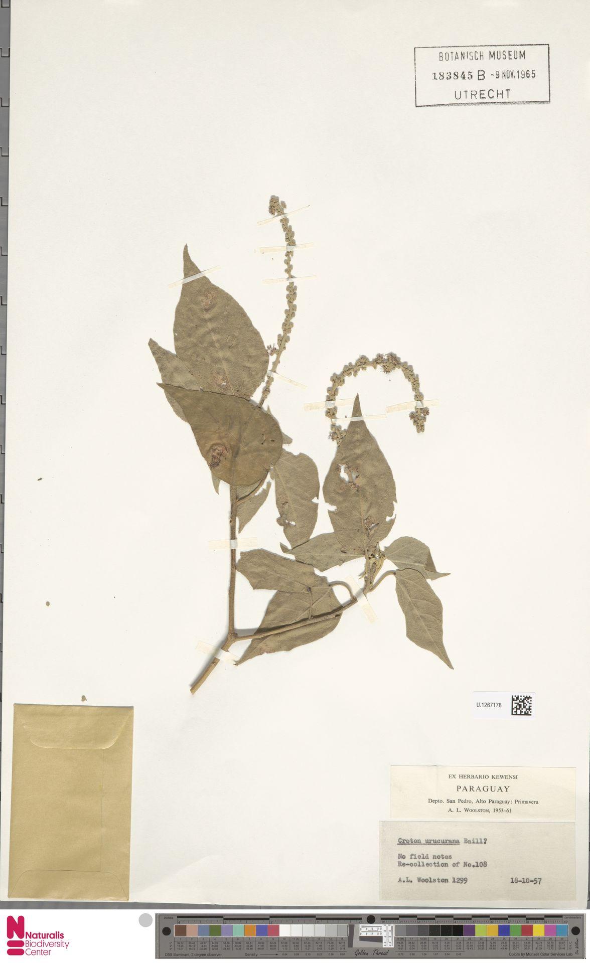 U.1267178 | Croton urucurana Baill.