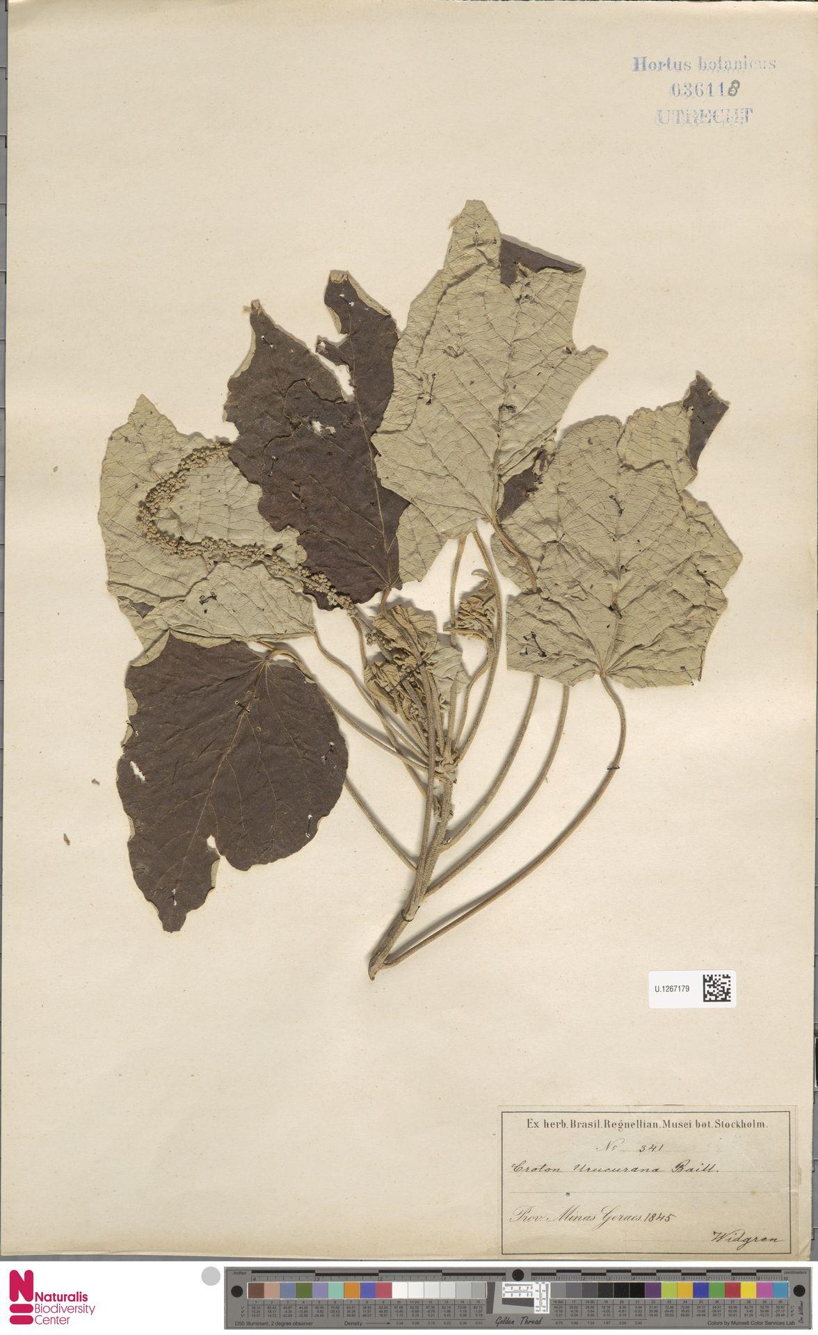 U.1267179 | Croton urucurana Baill.