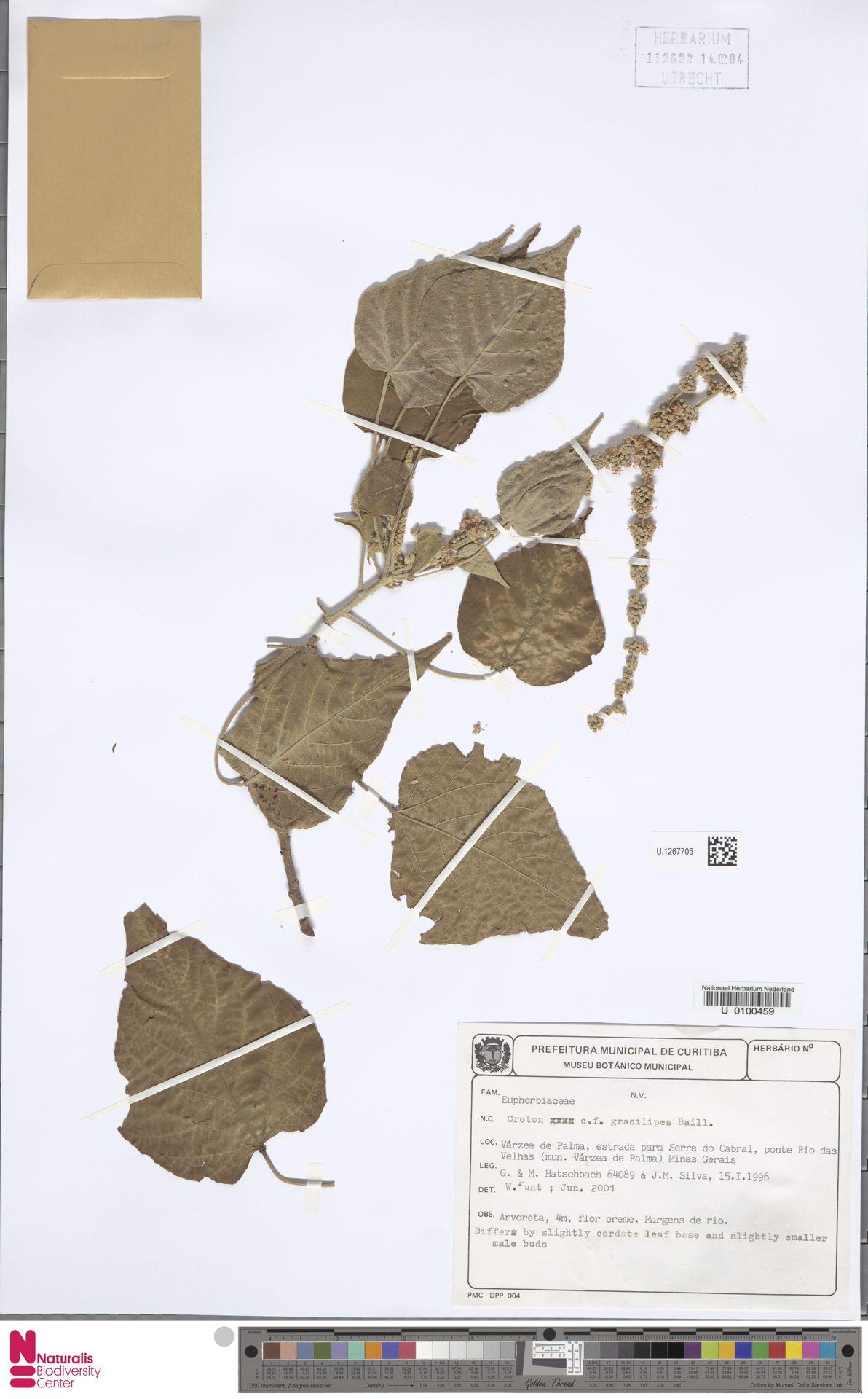 U.1267705 | Croton urucurana Baill.