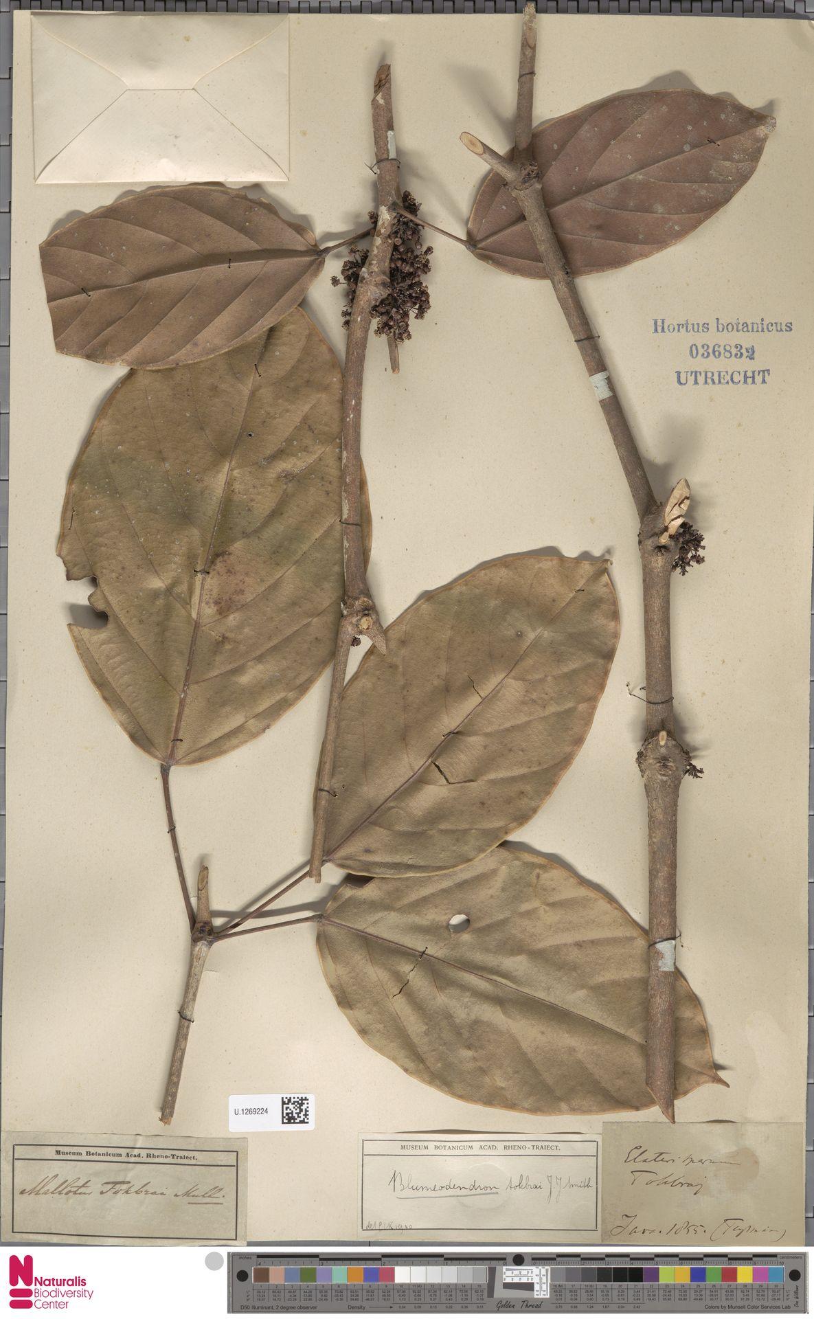 U.1269224 | Blumeodendron kurzii (Hook.f.) J.J.Sm.