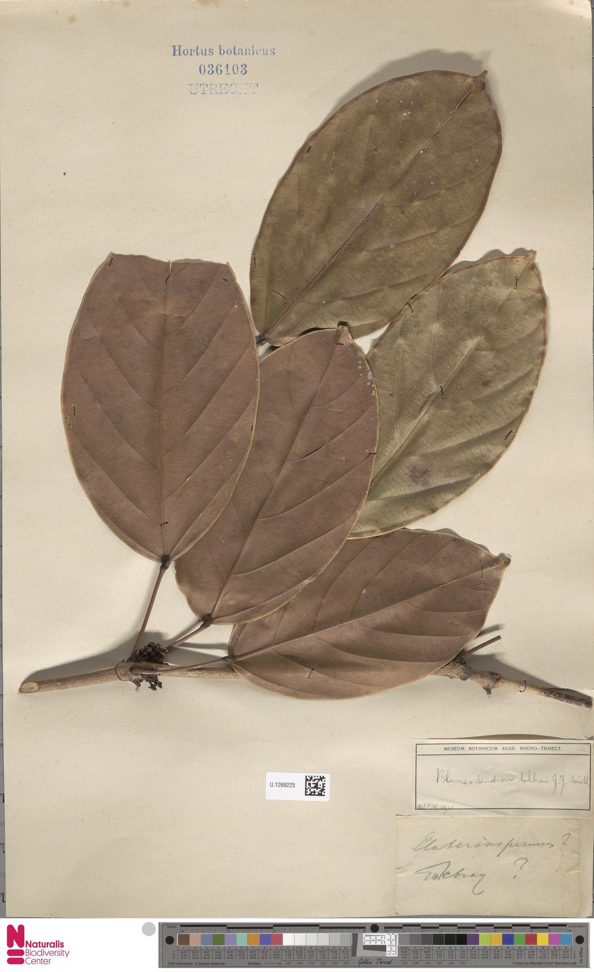 U.1269225 | Blumeodendron kurzii (Hook.f.) J.J.Sm.