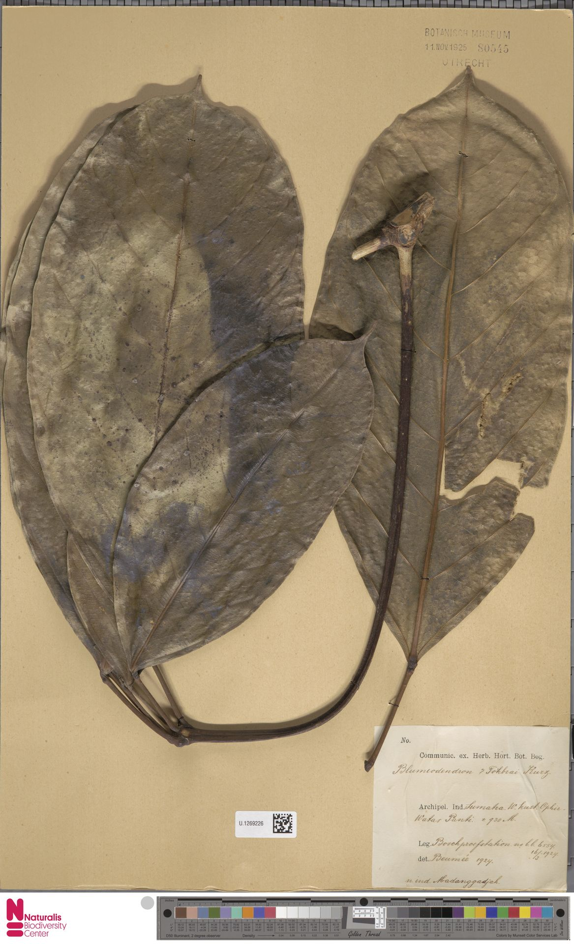 U.1269226 | Blumeodendron kurzii (Hook.f.) J.J.Sm.