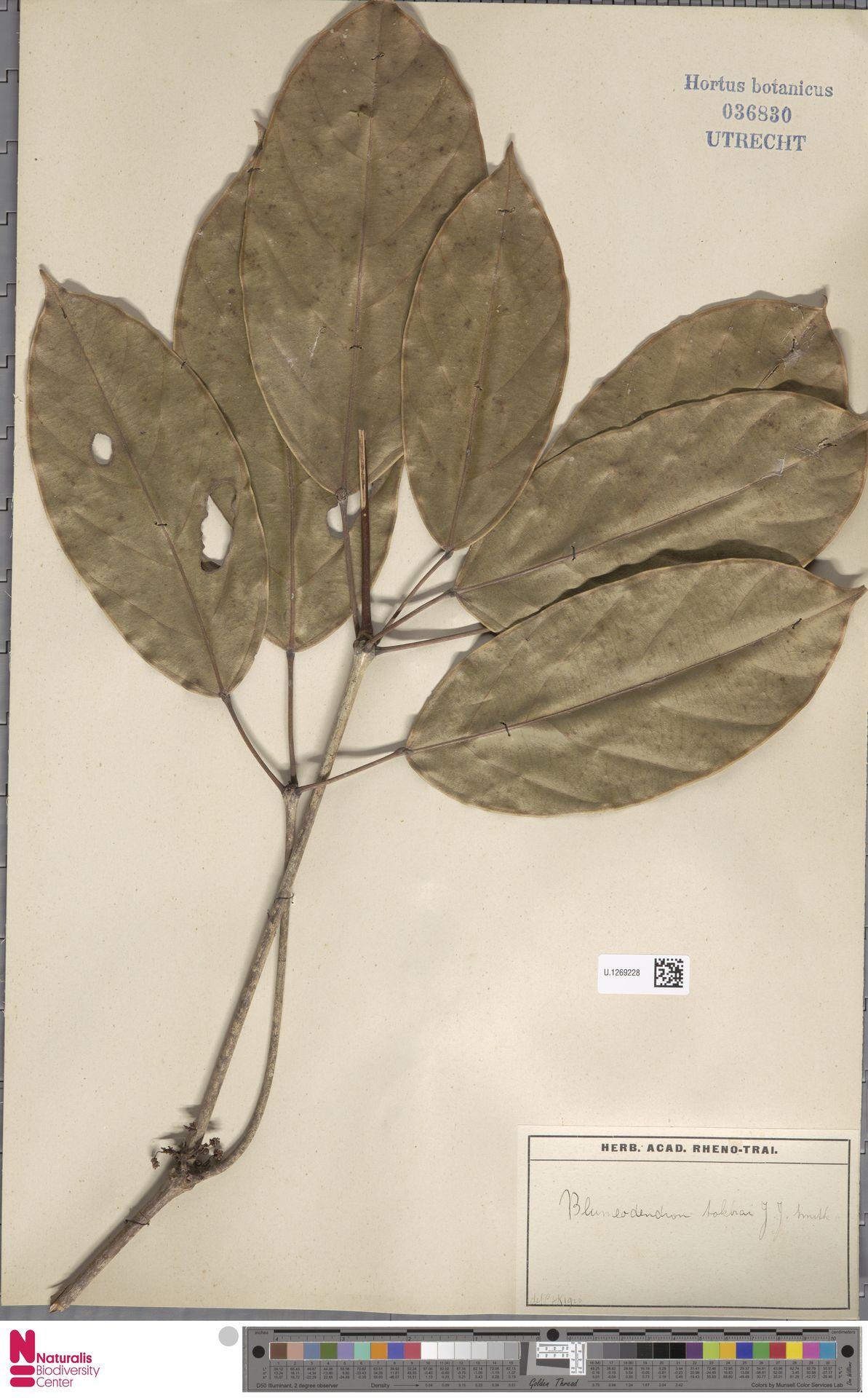 U.1269228 | Blumeodendron kurzii (Hook.f.) J.J.Sm.