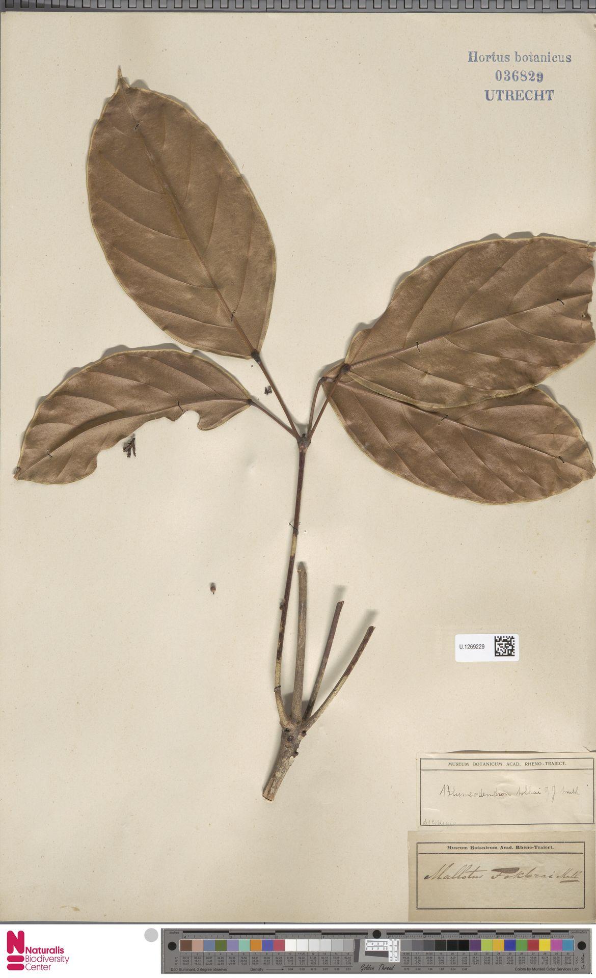 U.1269229 | Blumeodendron kurzii (Hook.f.) J.J.Sm.