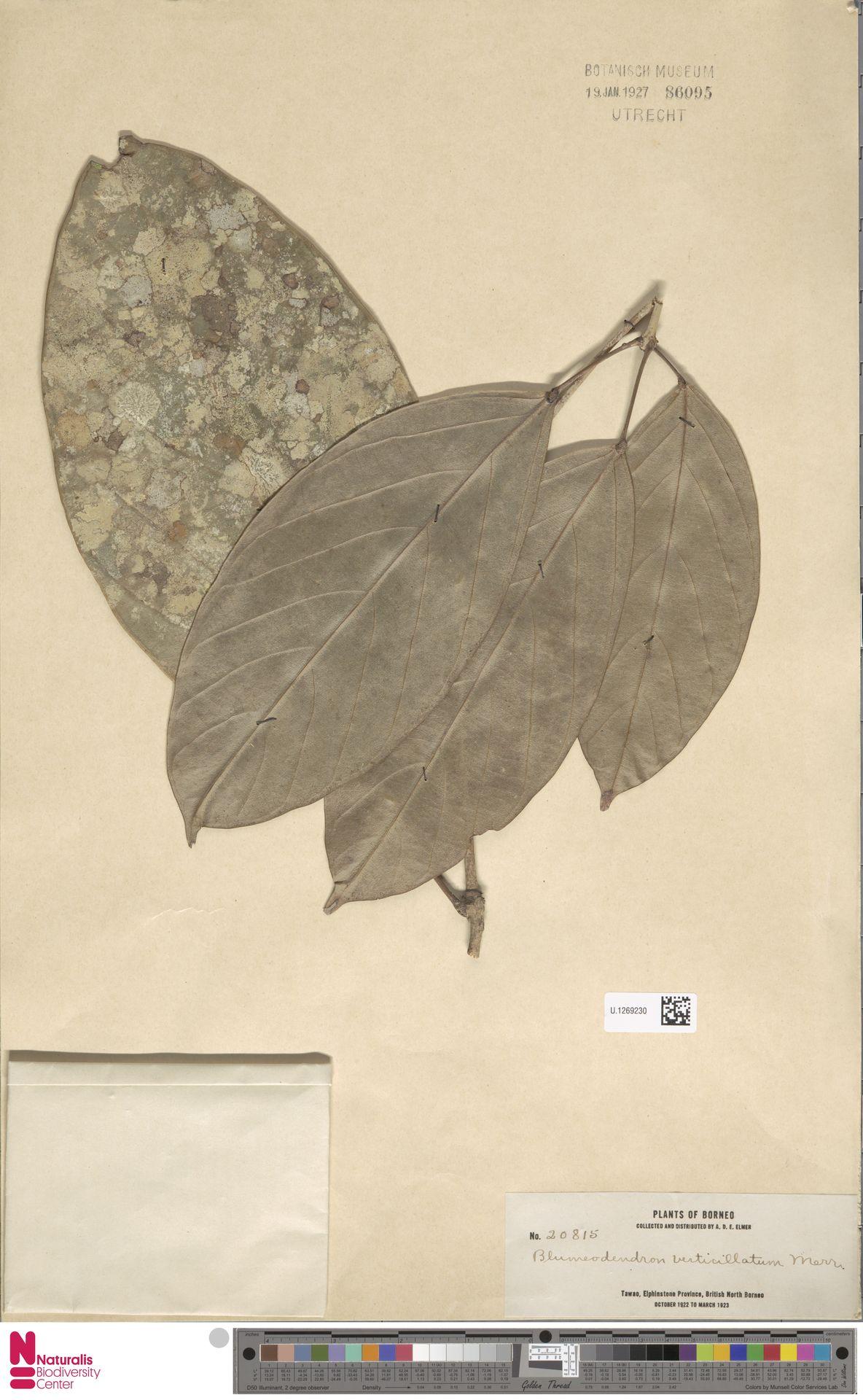 U.1269230 | Blumeodendron kurzii (Hook.f.) J.J.Sm.