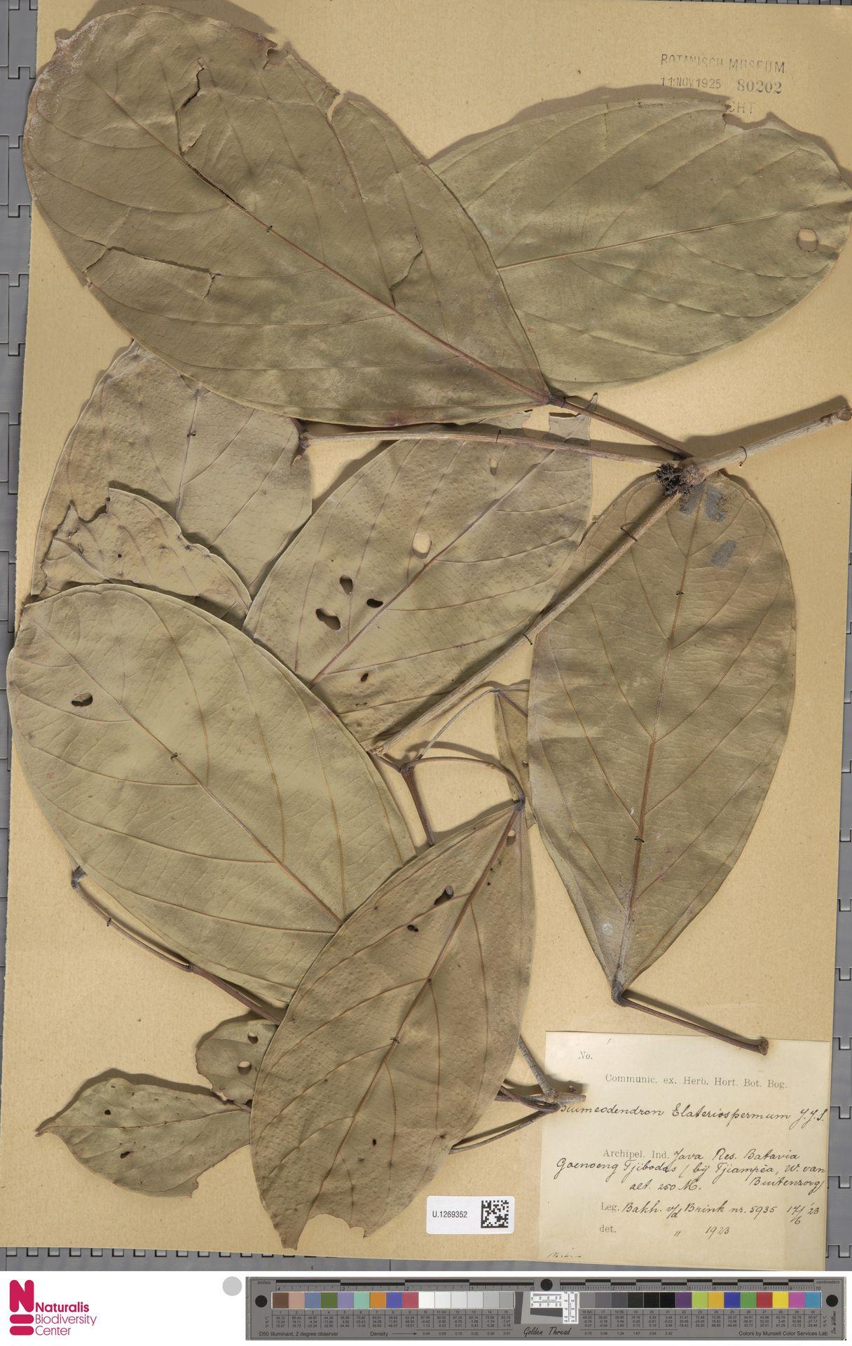 U.1269352 | Blumeodendron kurzii (Hook.f.) J.J.Sm.