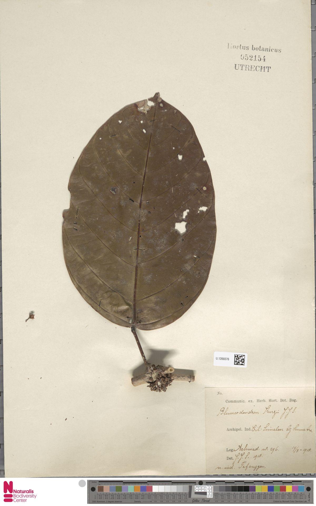 U.1269376   Blumeodendron kurzii (Hook.f.) J.J.Sm.