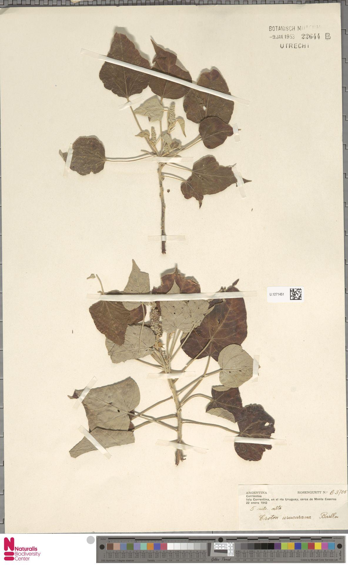 U.1271451 | Croton urucurana Baill.