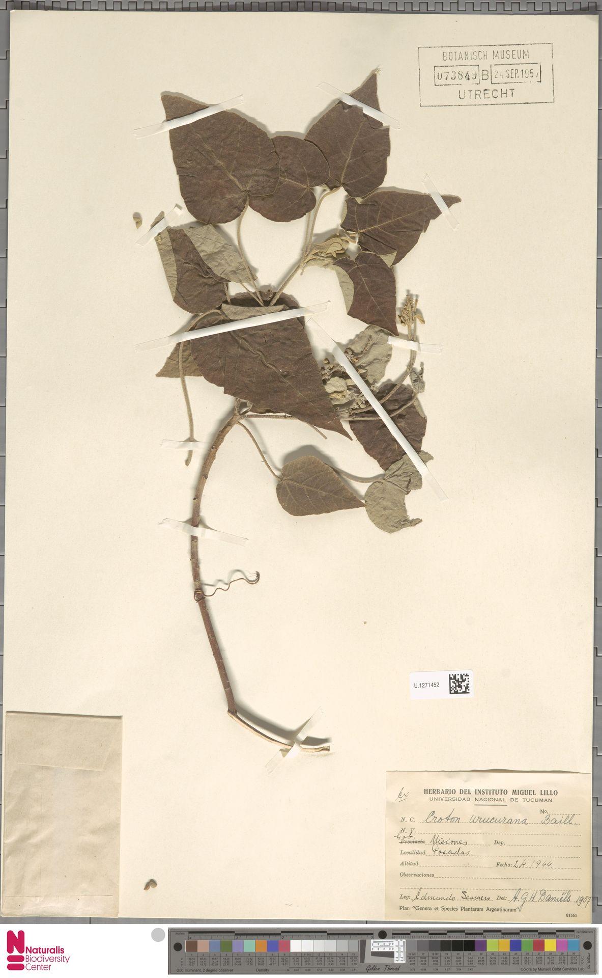 U.1271452 | Croton urucurana Baill.