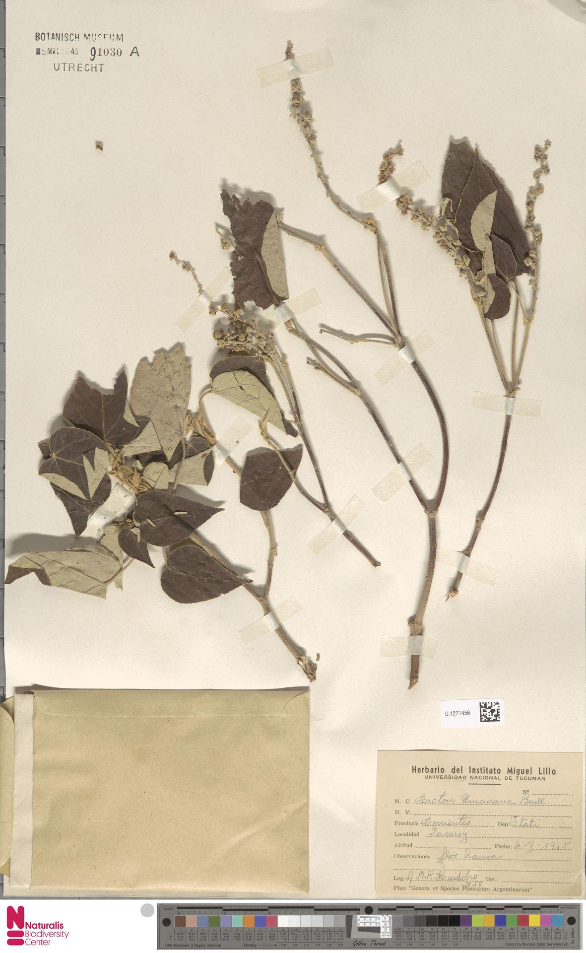 U.1271456 | Croton urucurana Baill.