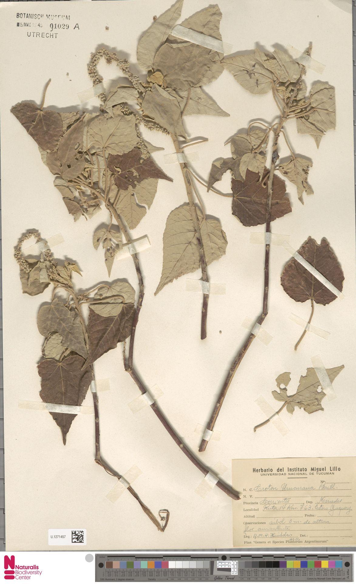 U.1271457 | Croton urucurana Baill.