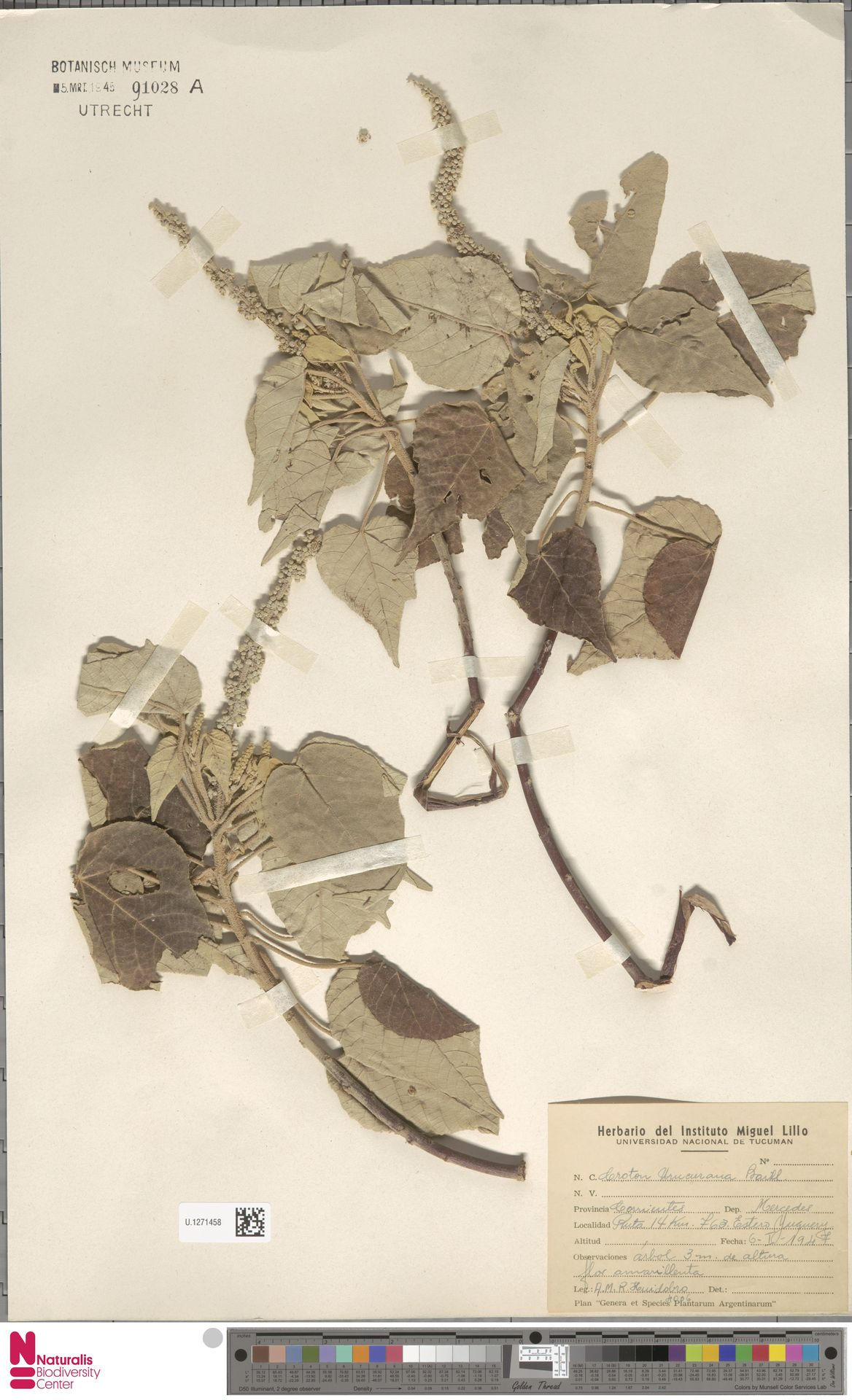 U.1271458 | Croton urucurana Baill.