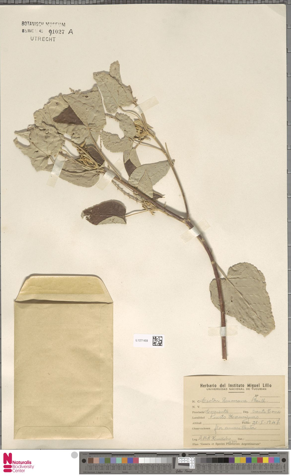 U.1271459 | Croton urucurana Baill.