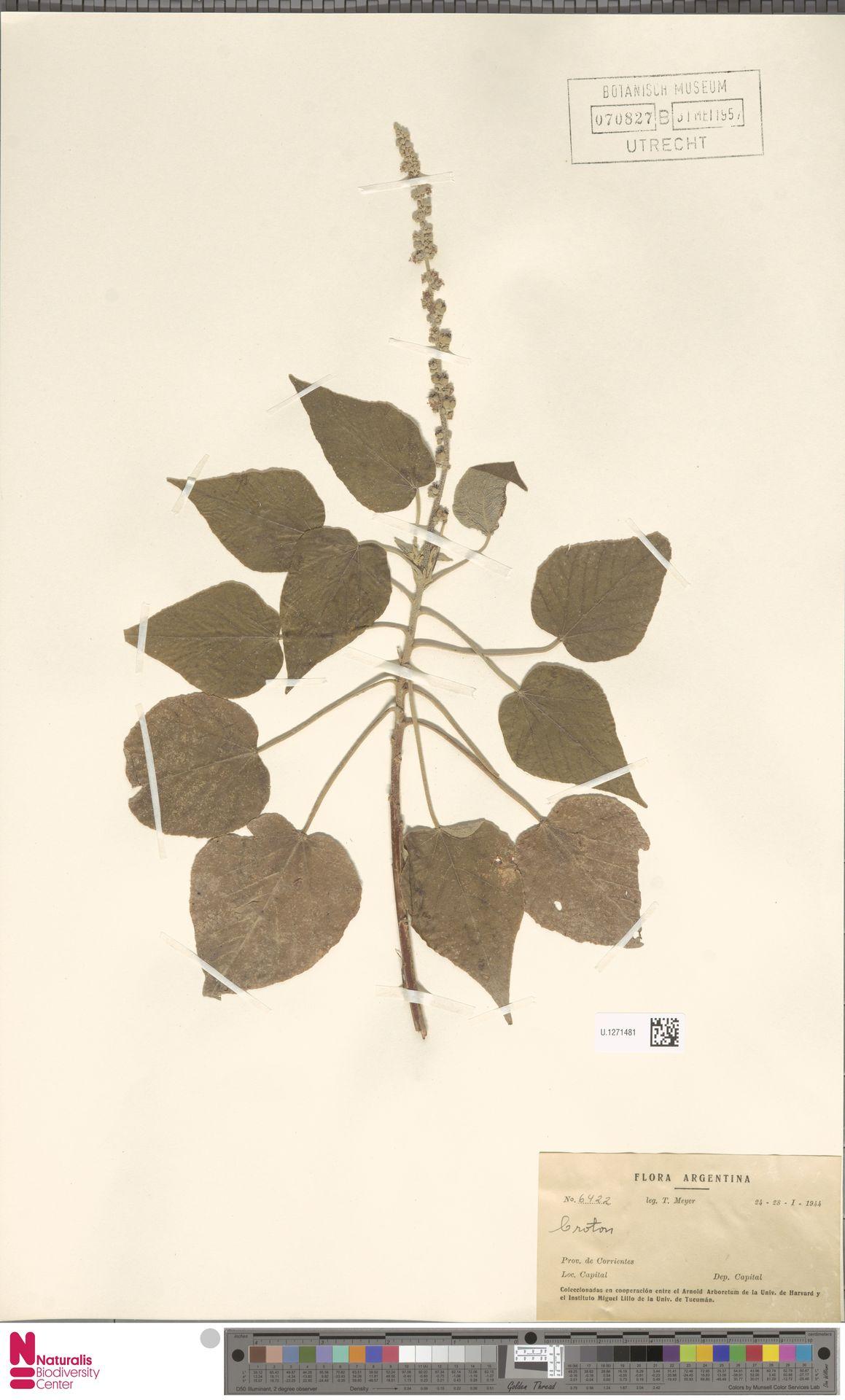 U.1271481 | Croton urucurana Baill.