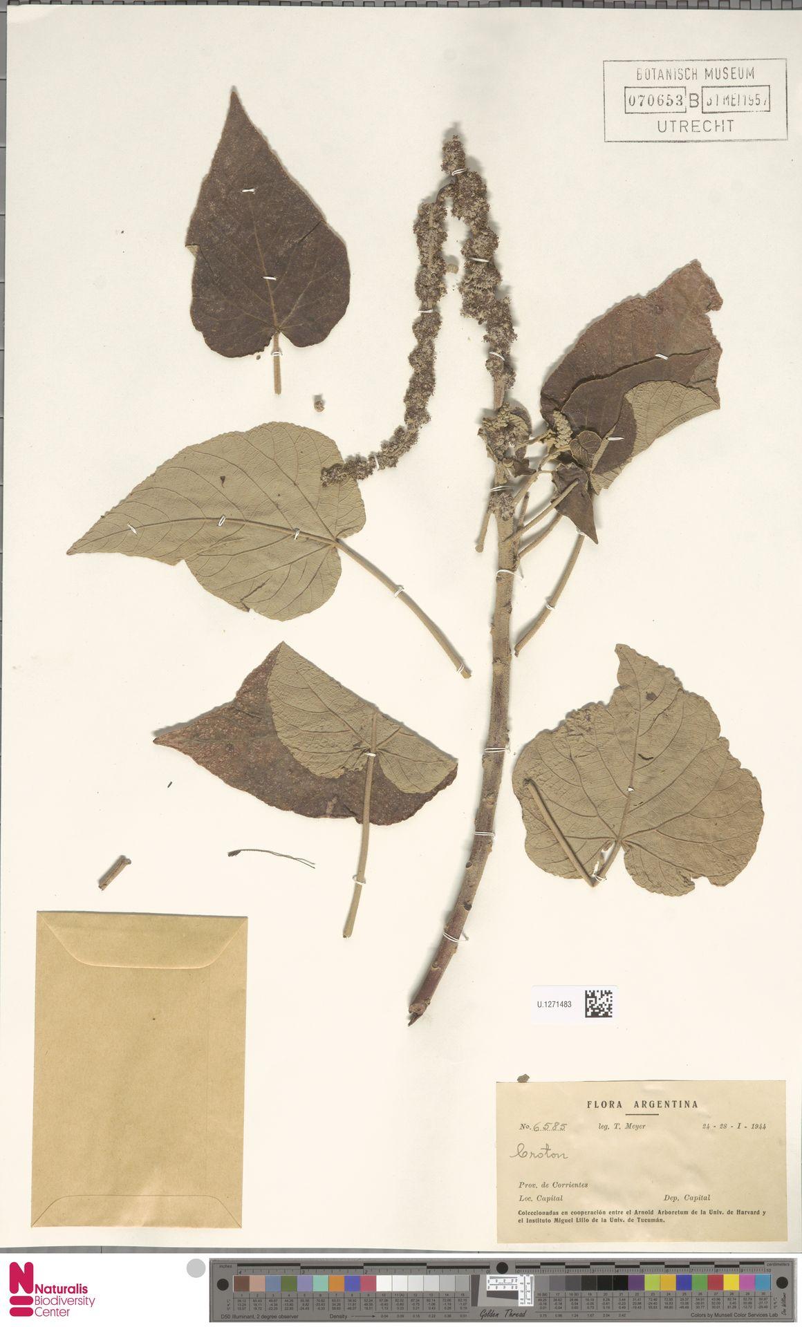 U.1271483   Croton urucurana Baill.