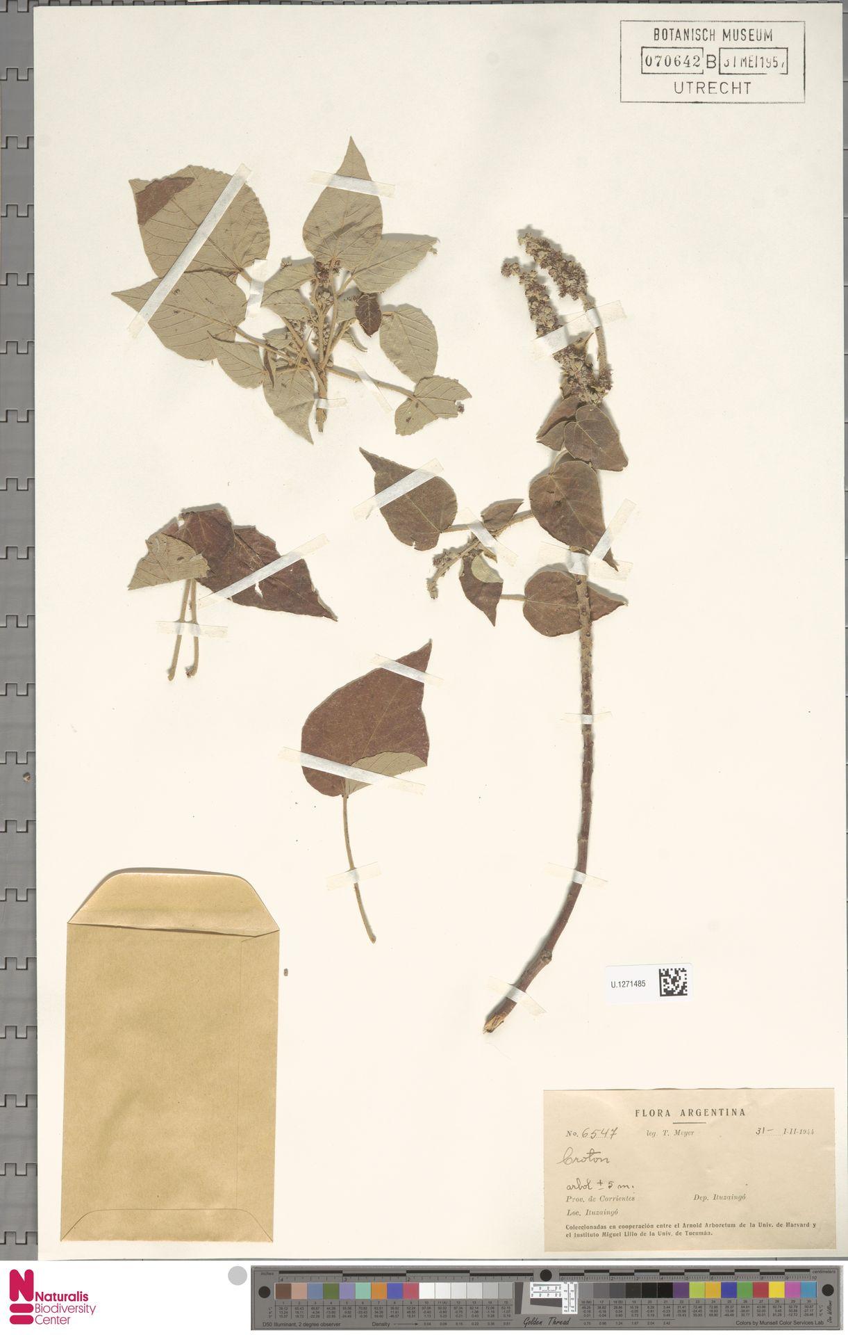 U.1271485 | Croton urucurana Baill.