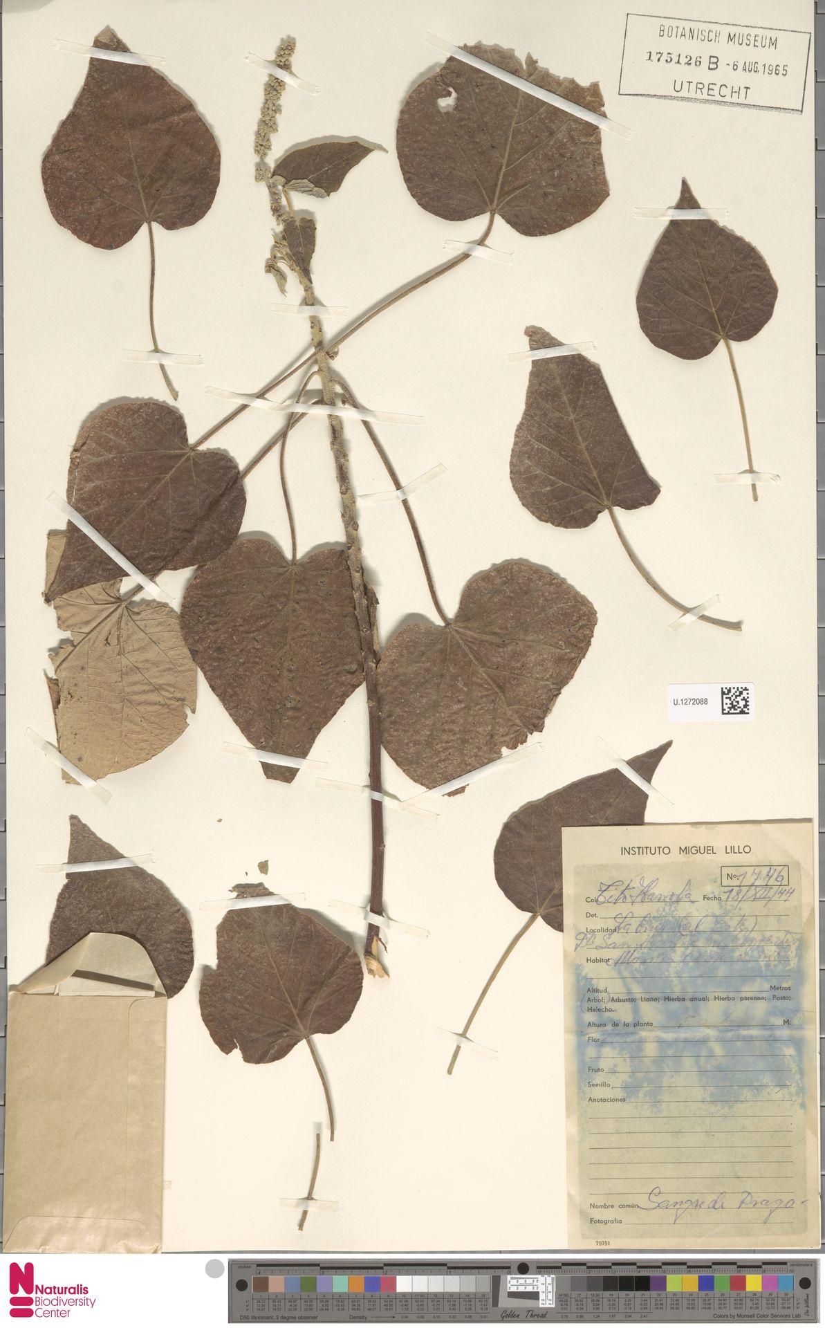 U.1272088 | Croton urucurana Baill.