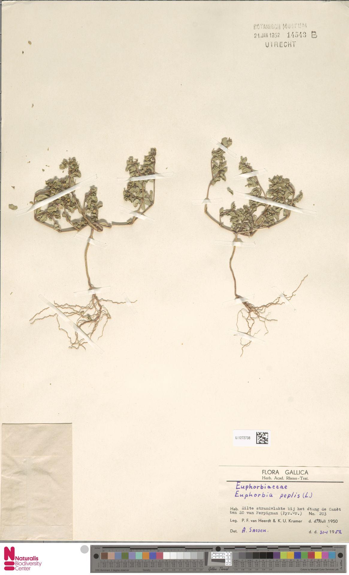 U.1272738   Euphorbia peplis L.