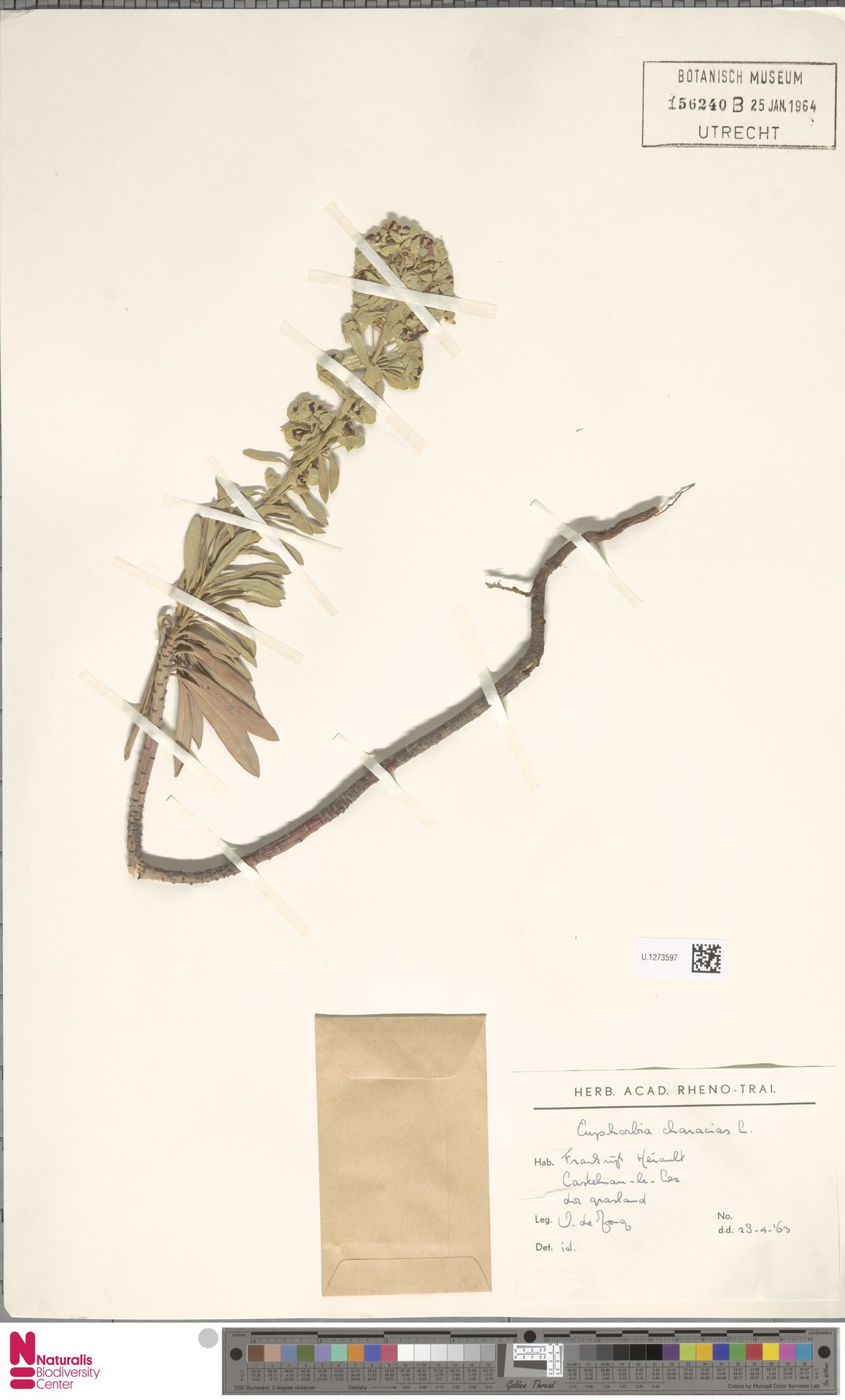 U.1273597 | Euphorbia characias L.
