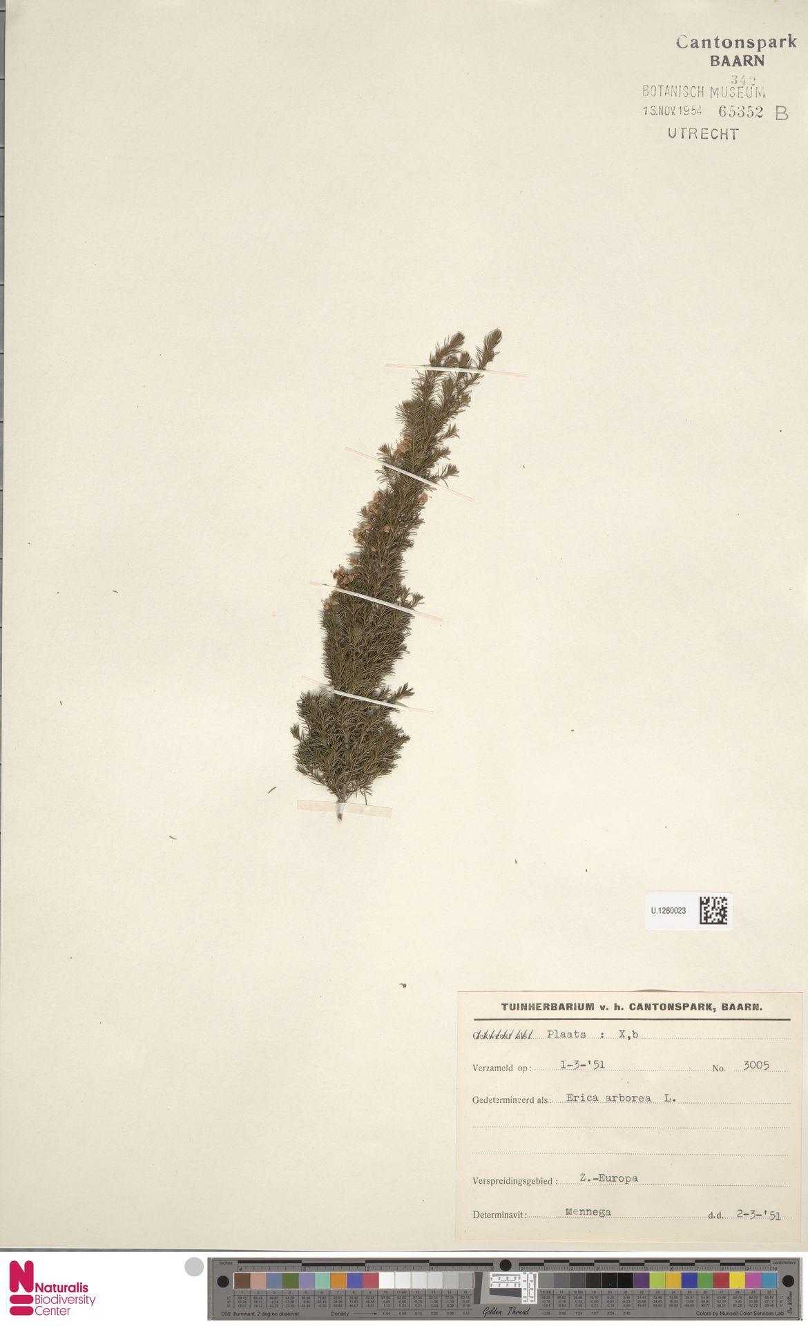 U.1280023 | Erica arborea L.