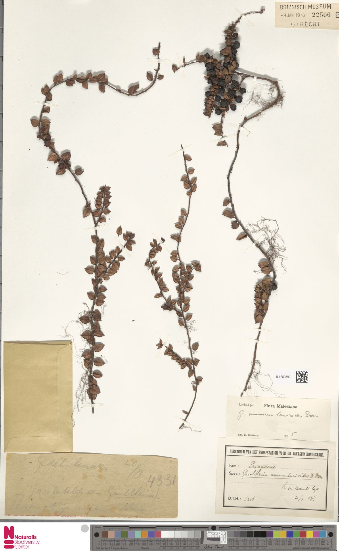 U.1280892 | Gaultheria nummularioides G.Don