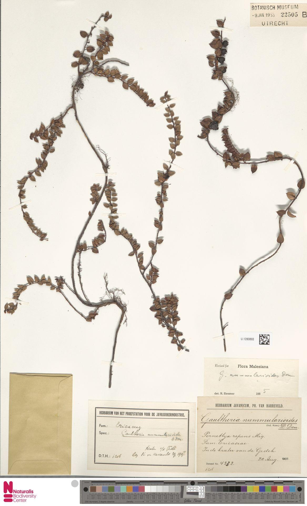 U.1280893 | Gaultheria nummularioides G.Don