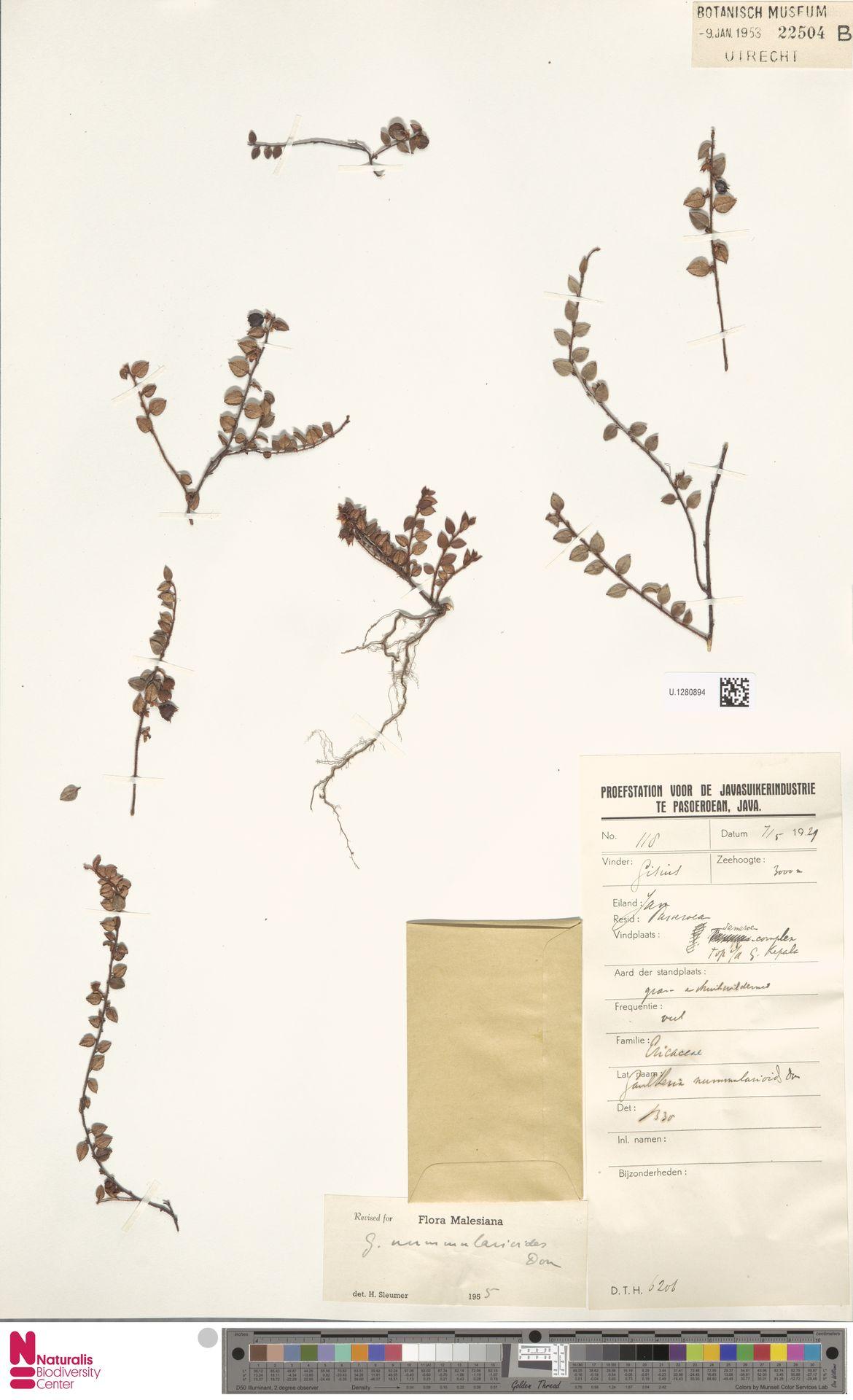 U.1280894 | Gaultheria nummularioides G.Don