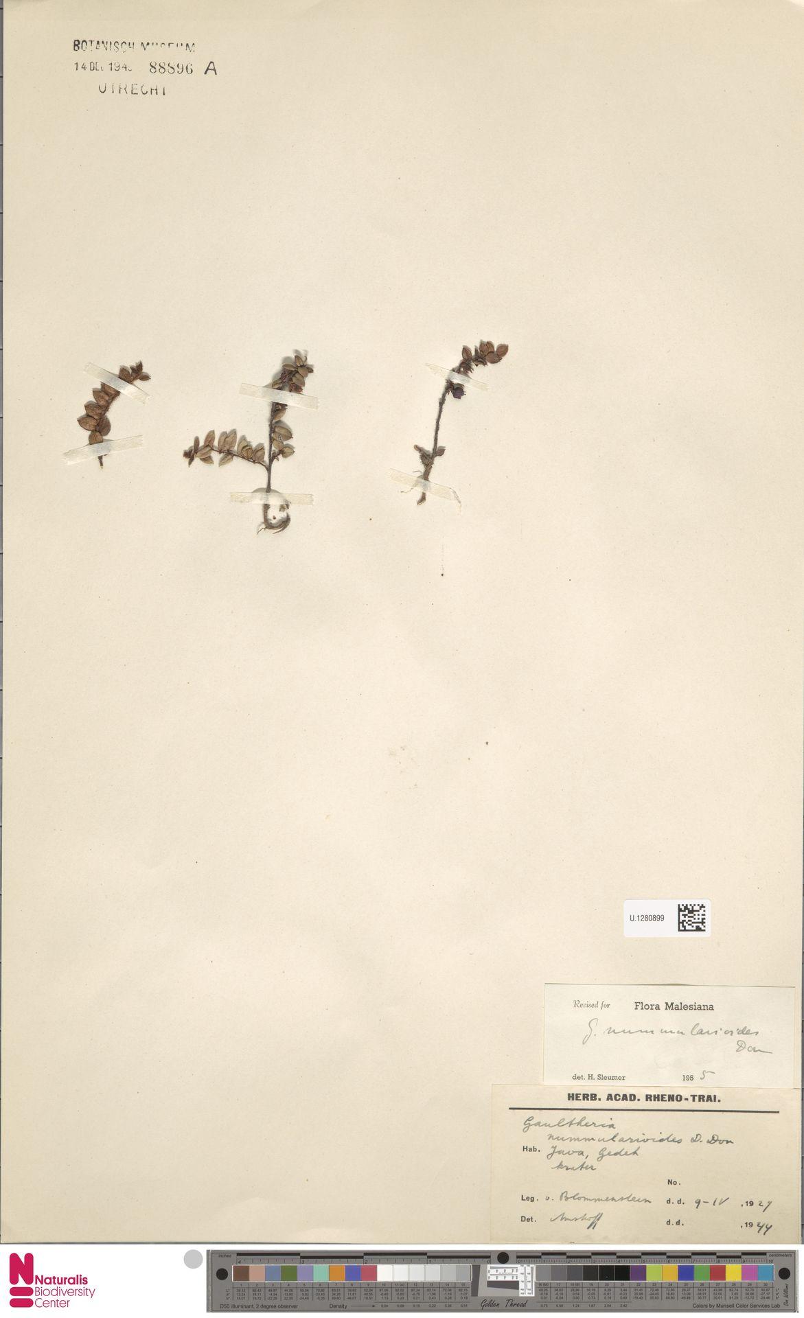 U.1280899 | Gaultheria nummularioides G.Don