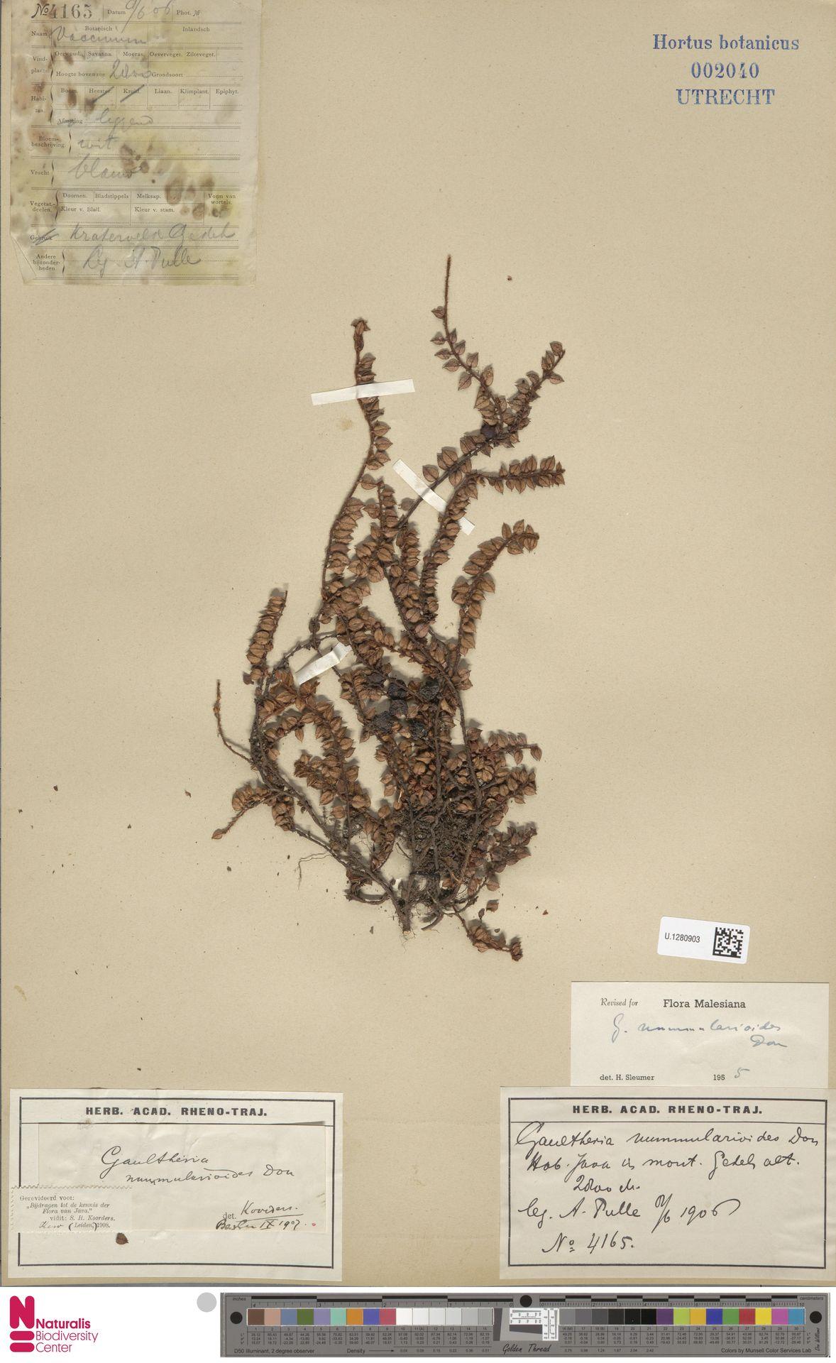 U.1280903 | Gaultheria nummularioides G.Don