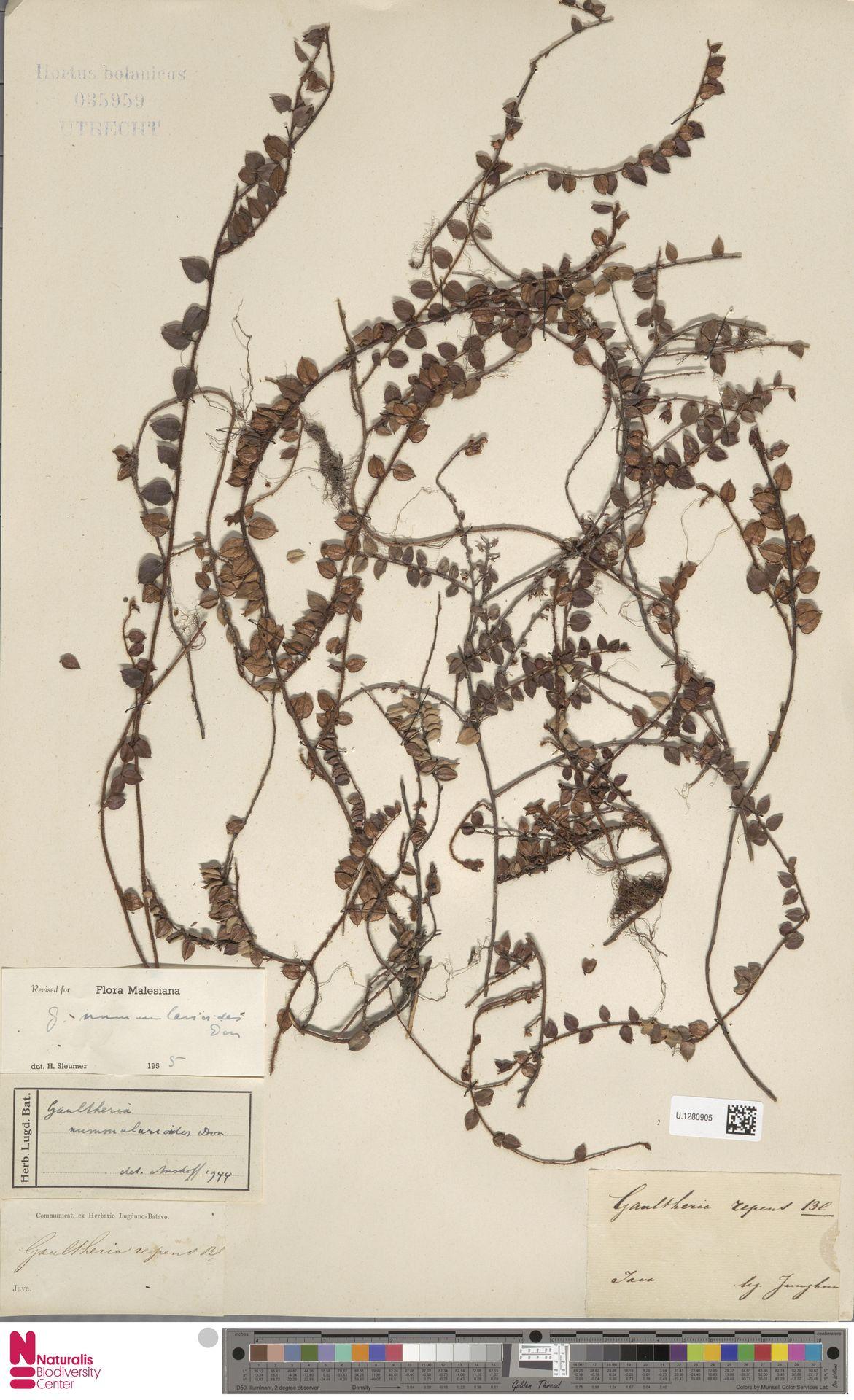 U.1280905 | Gaultheria nummularioides G.Don
