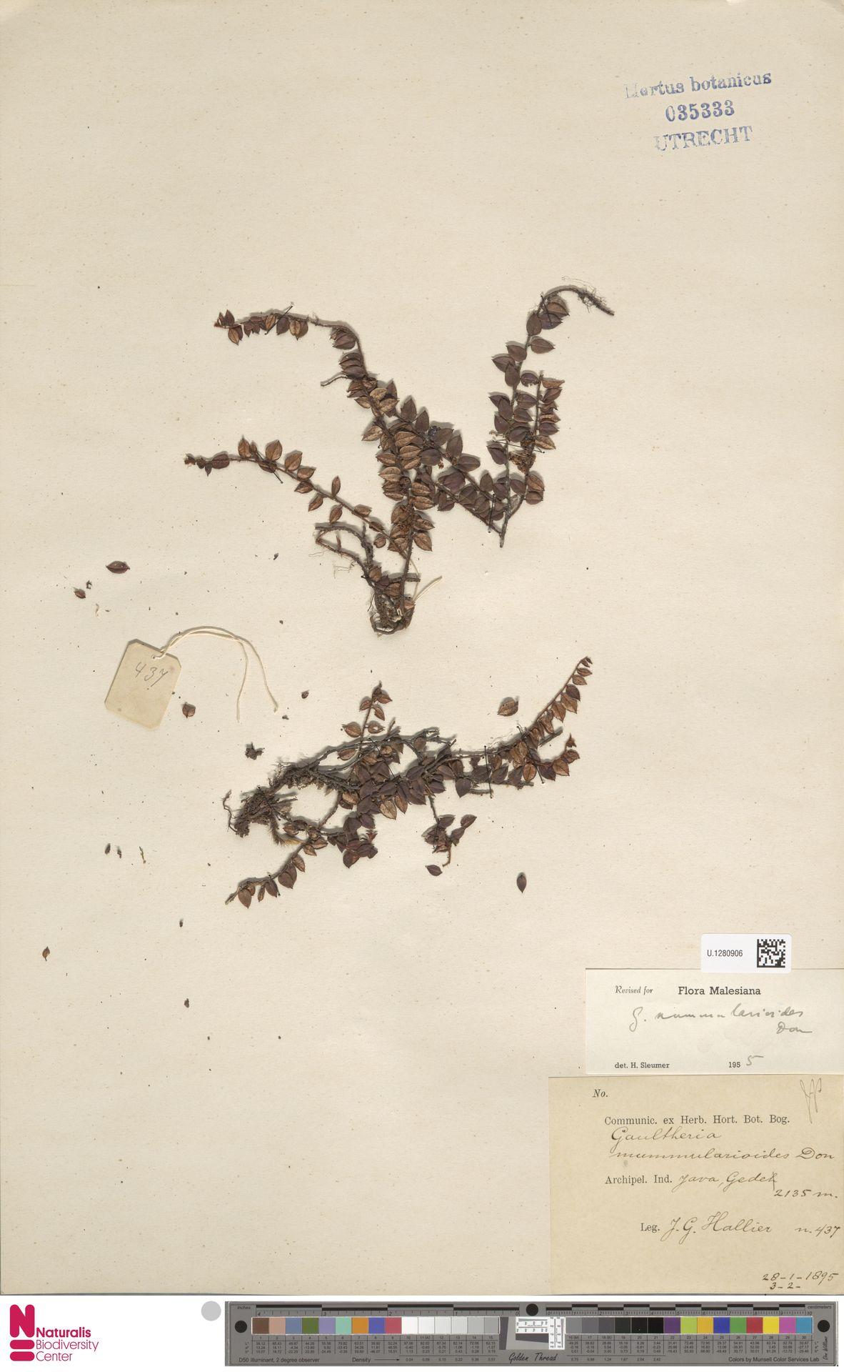 U.1280906 | Gaultheria nummularioides G.Don