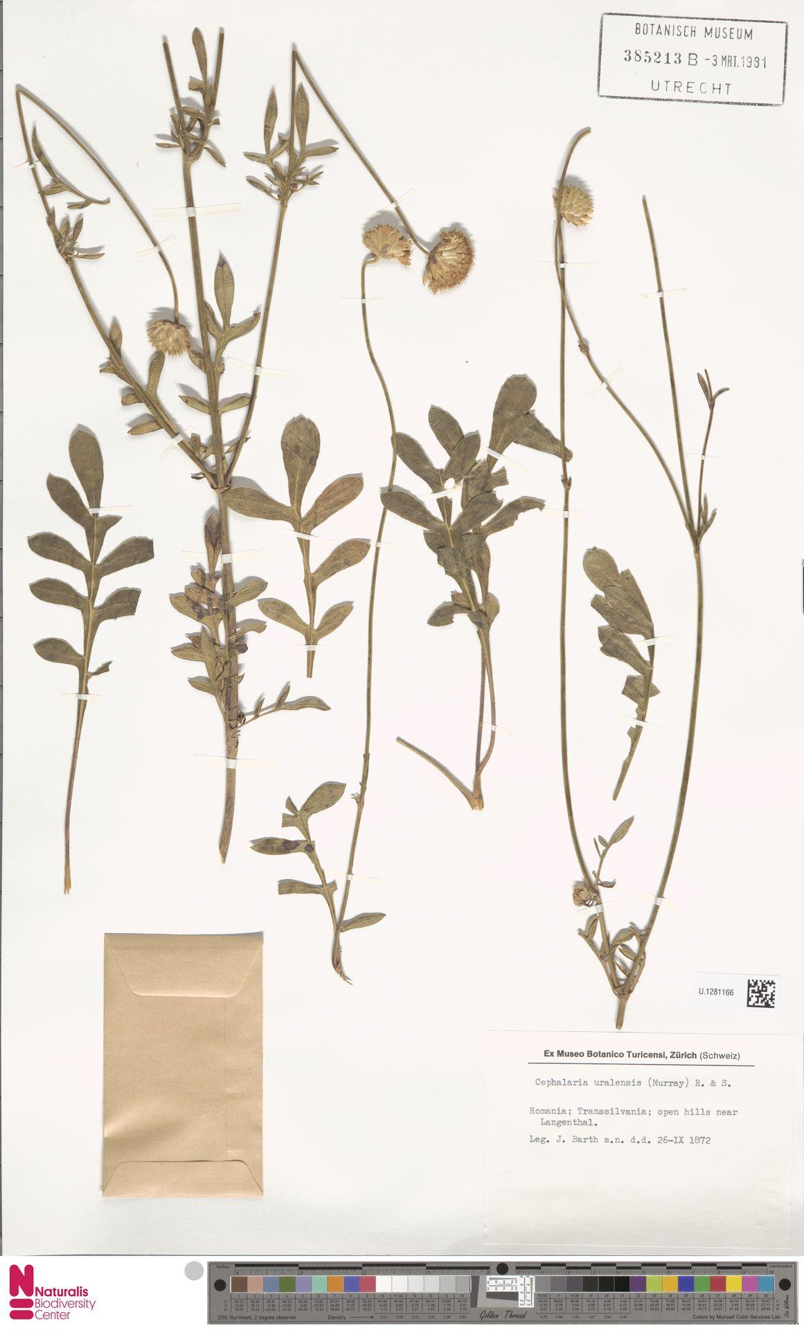 U.1281166 | Cephalaria uralensis (Murray) Roem. & Schult.